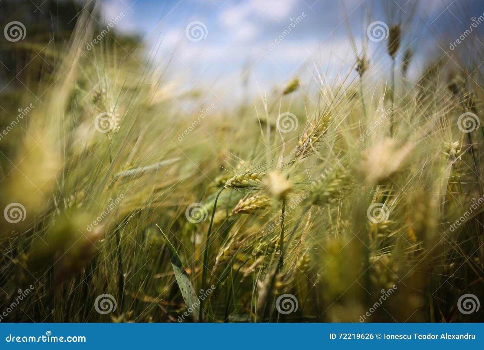 Fermez-vous avec des oreilles de blé