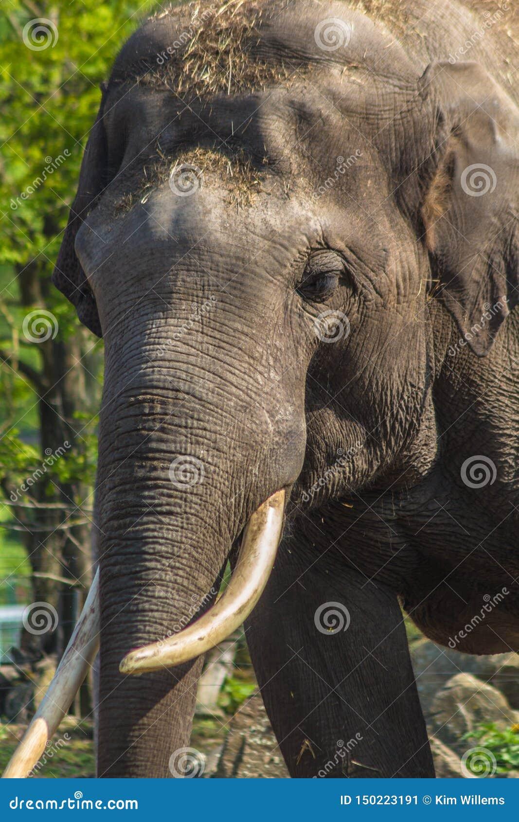 Fermez-vous d un éléphant asiatique masculin avec sa défense ene ivoire