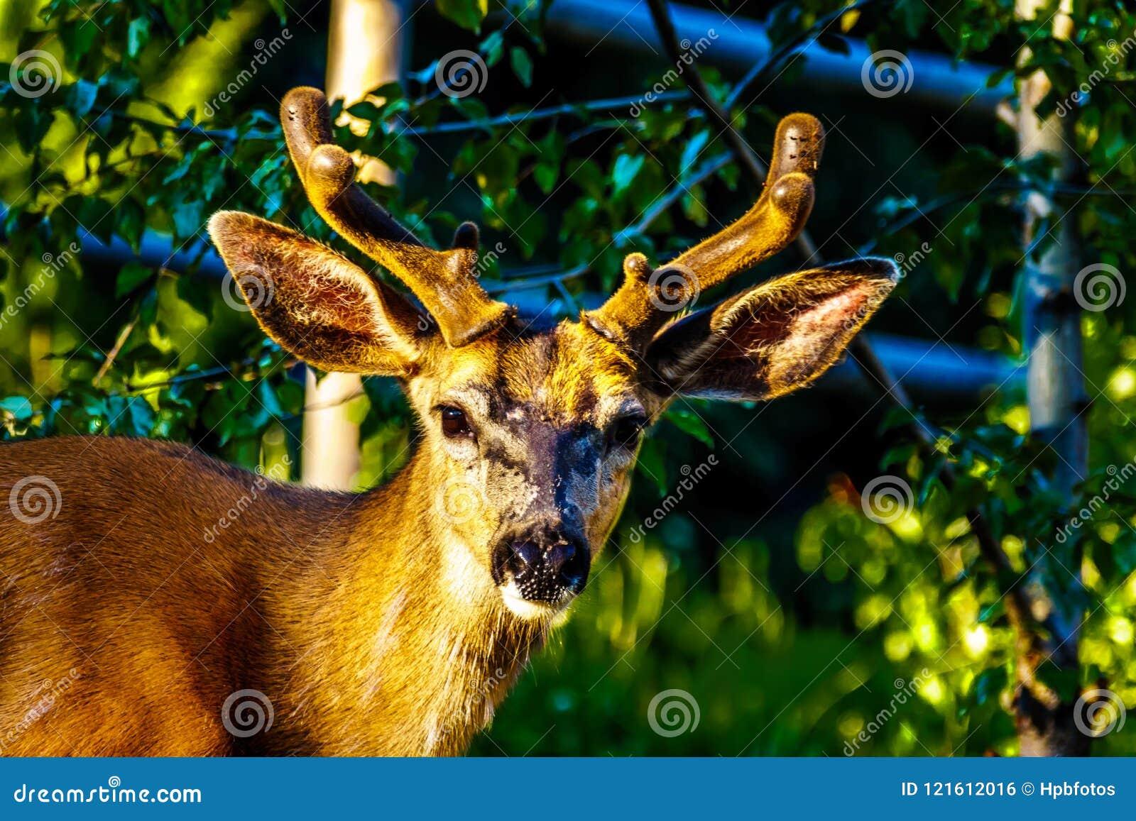 Fermez-vous d un cerf commun coupé la queue par noir dans le village alpin des crêtes de Sun dans les montagnes de Shuswap