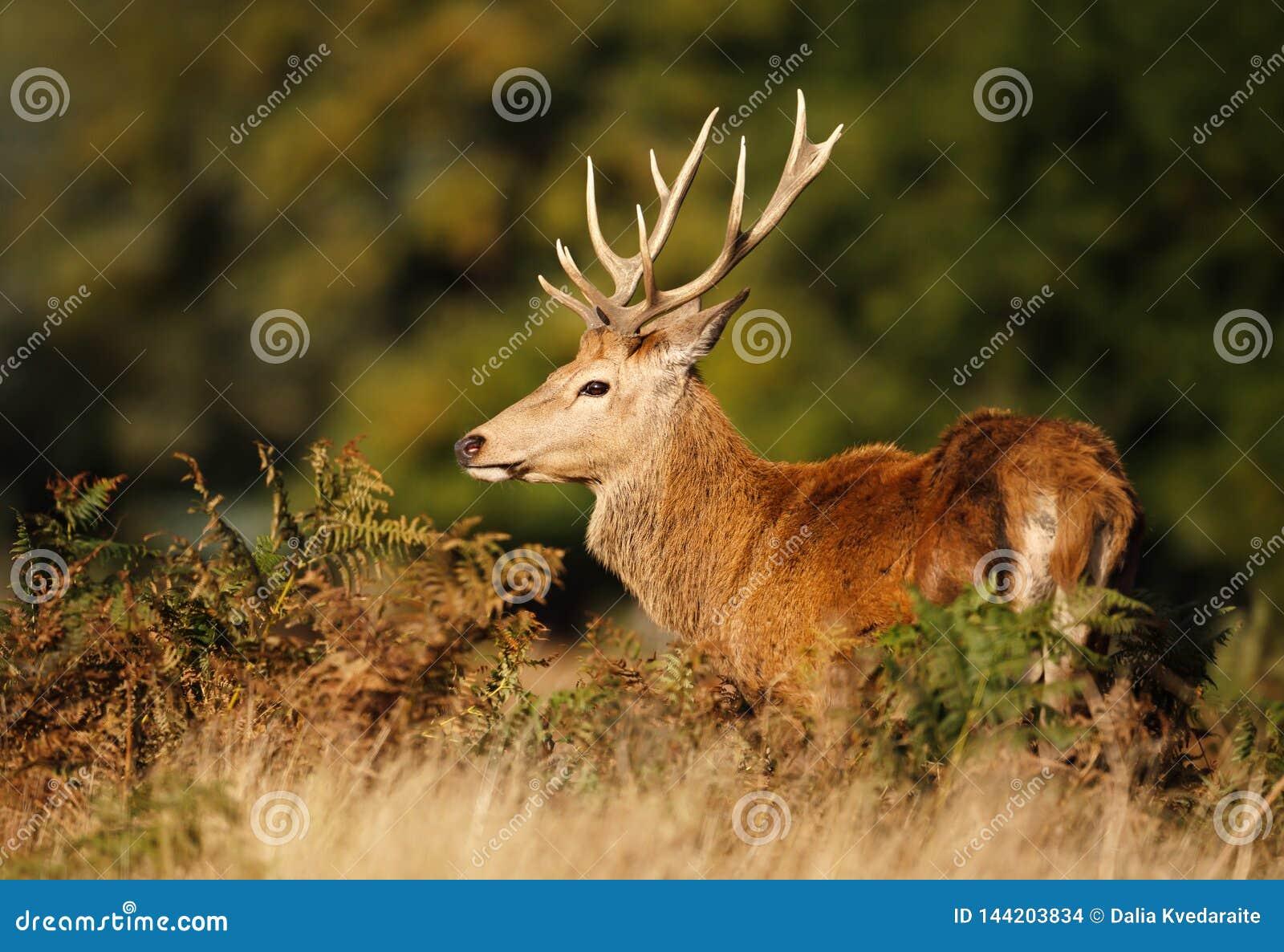 Fermez-vous d un cerf commun rouge en automne