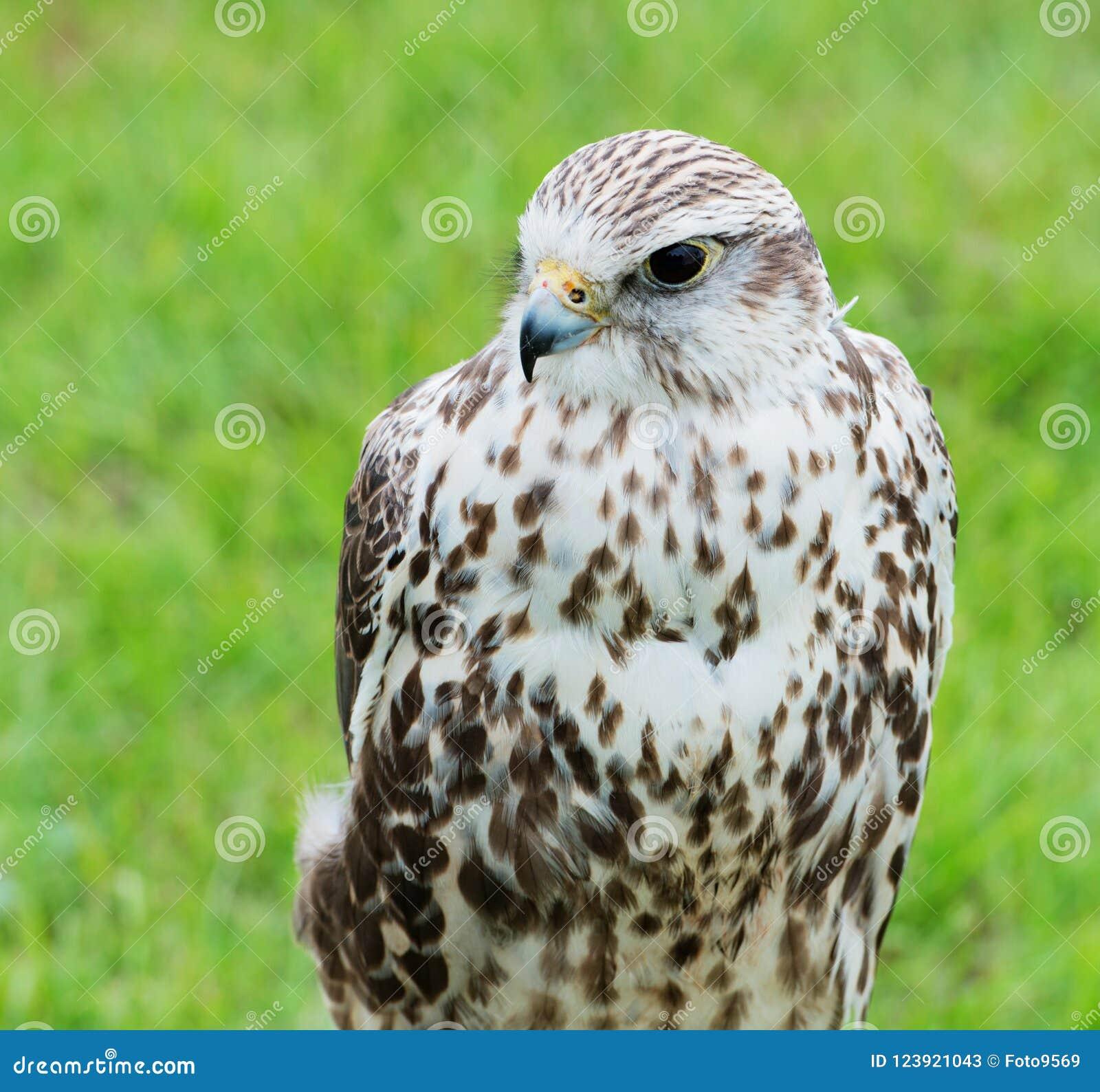 Fermez-vous d un faucon Raptor de Saker