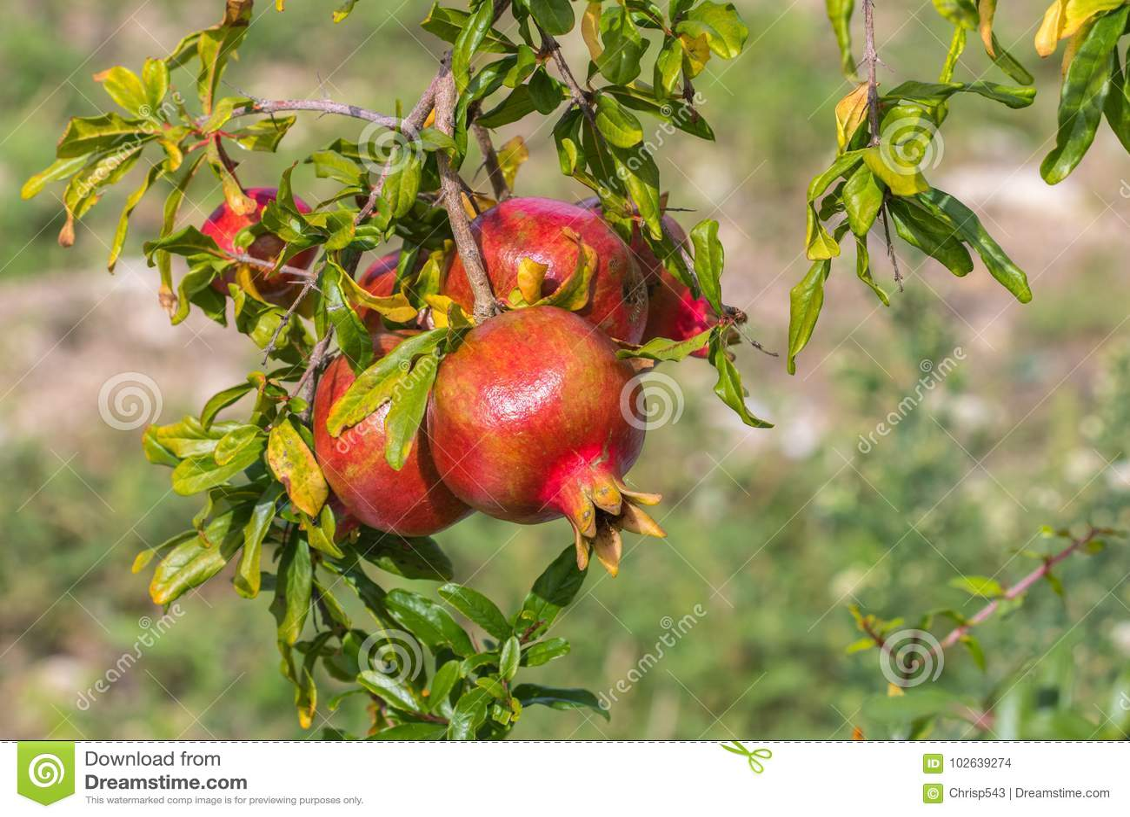 Fermez-vous d un gra succulent mûr de Punica de fruit de grenade de groupe