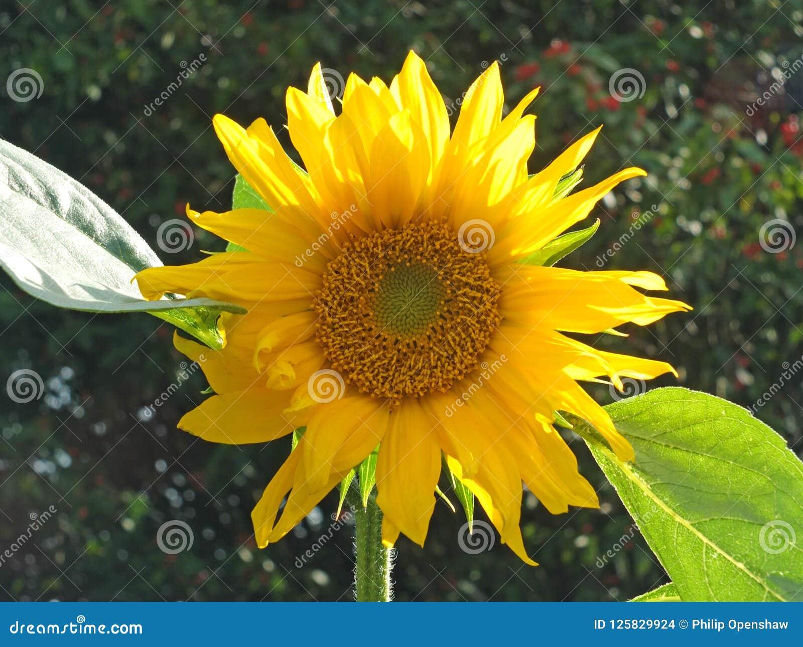 Fermez-vous d un grand tournesol jaune lumineux à la lumière du soleil lumineuse sur un fond vert-foncé