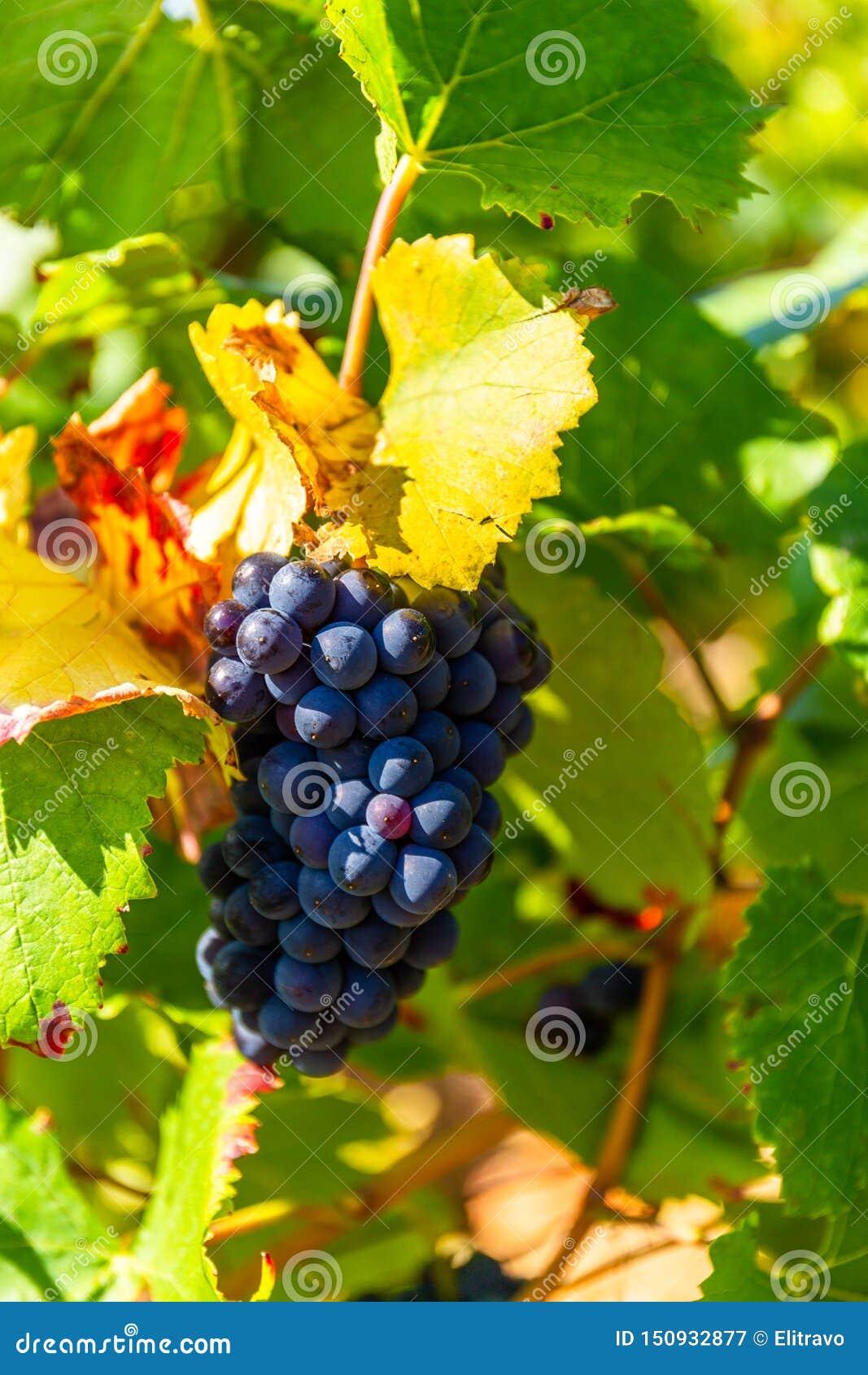 Fermez-vous d un groupe de raisins en Bourgogne, France