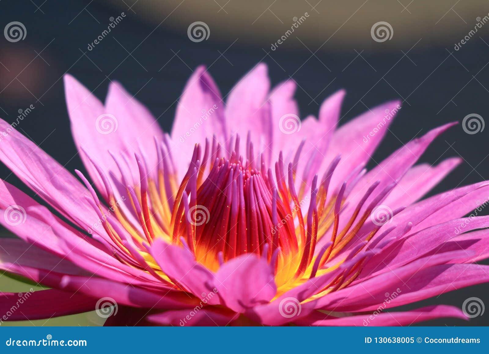 Fermez-vous d un rose pourpre vibrant Lotus Flower de pleine floraison à la lumière du soleil