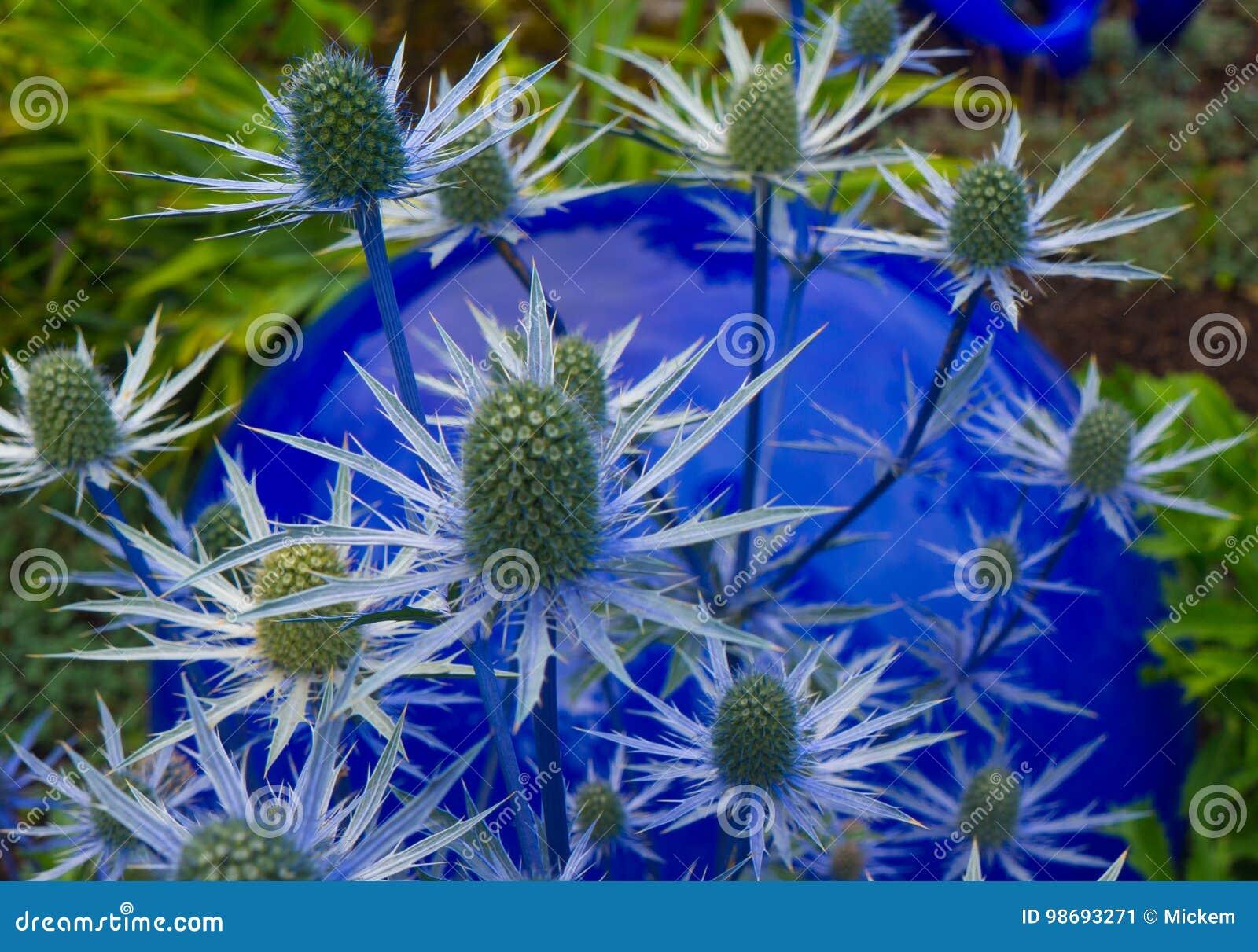 Fermez Vous D Une Fleur Epineuse De Chardon Bleu Image Stock Image
