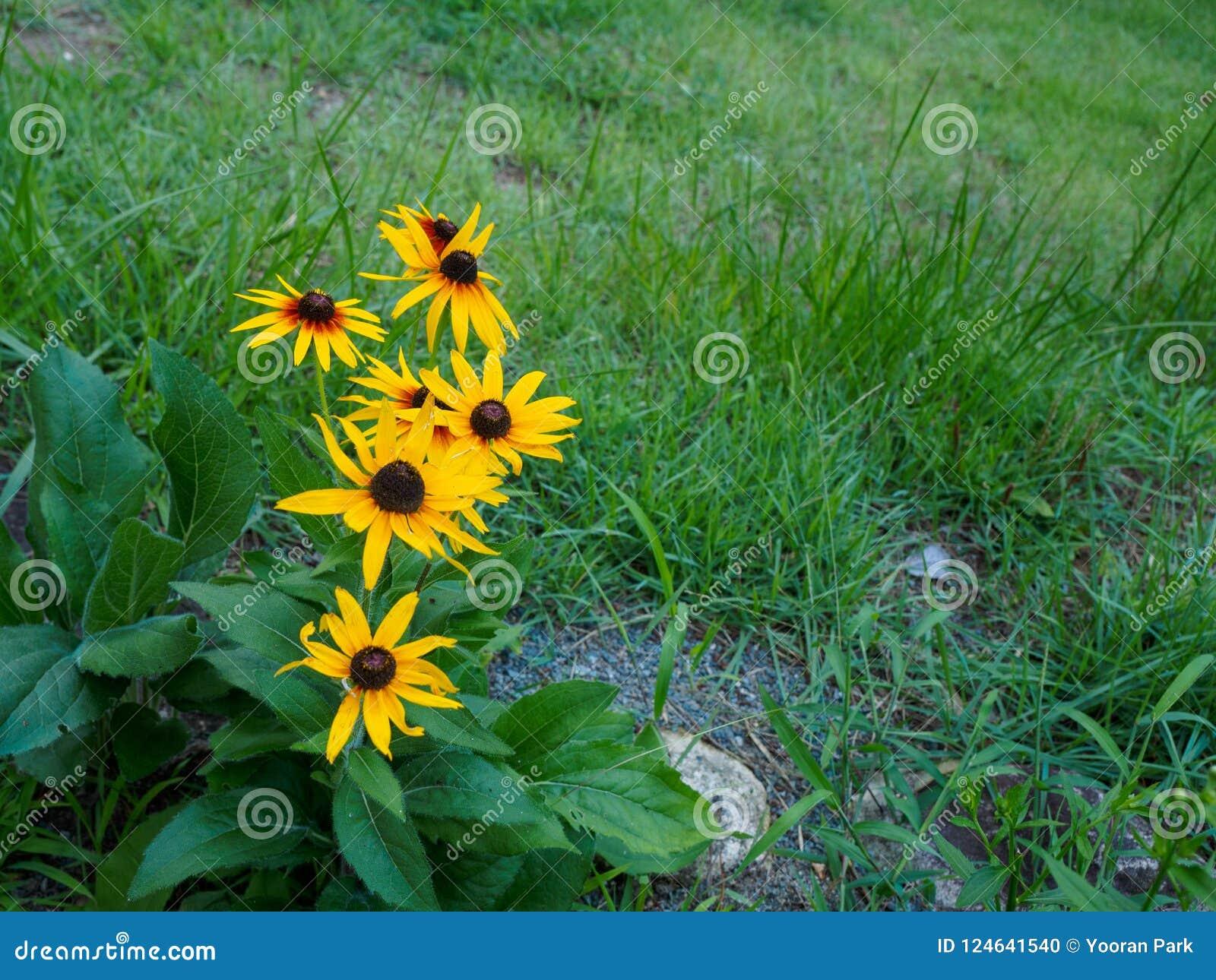 Fermez-vous d une fleur aux yeux noirs de Susan Également connu comme Brown Betty