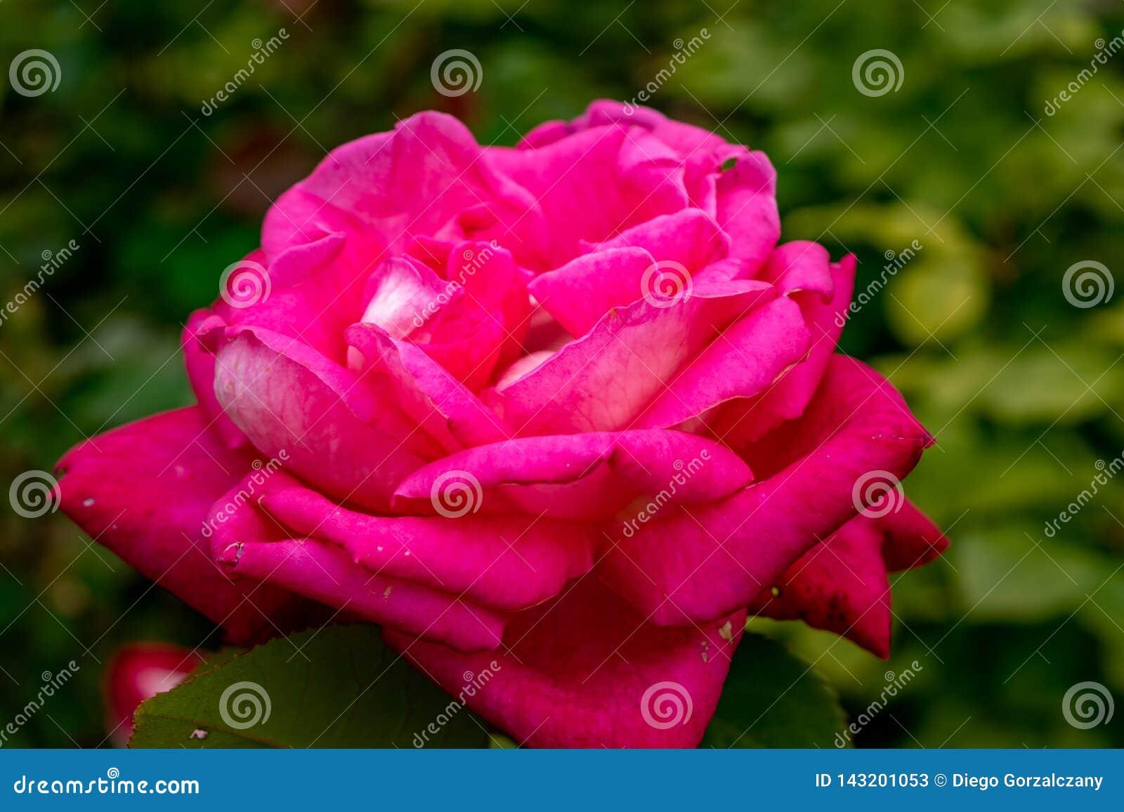 Fermez-vous d une rose rose avec le fond hors focale