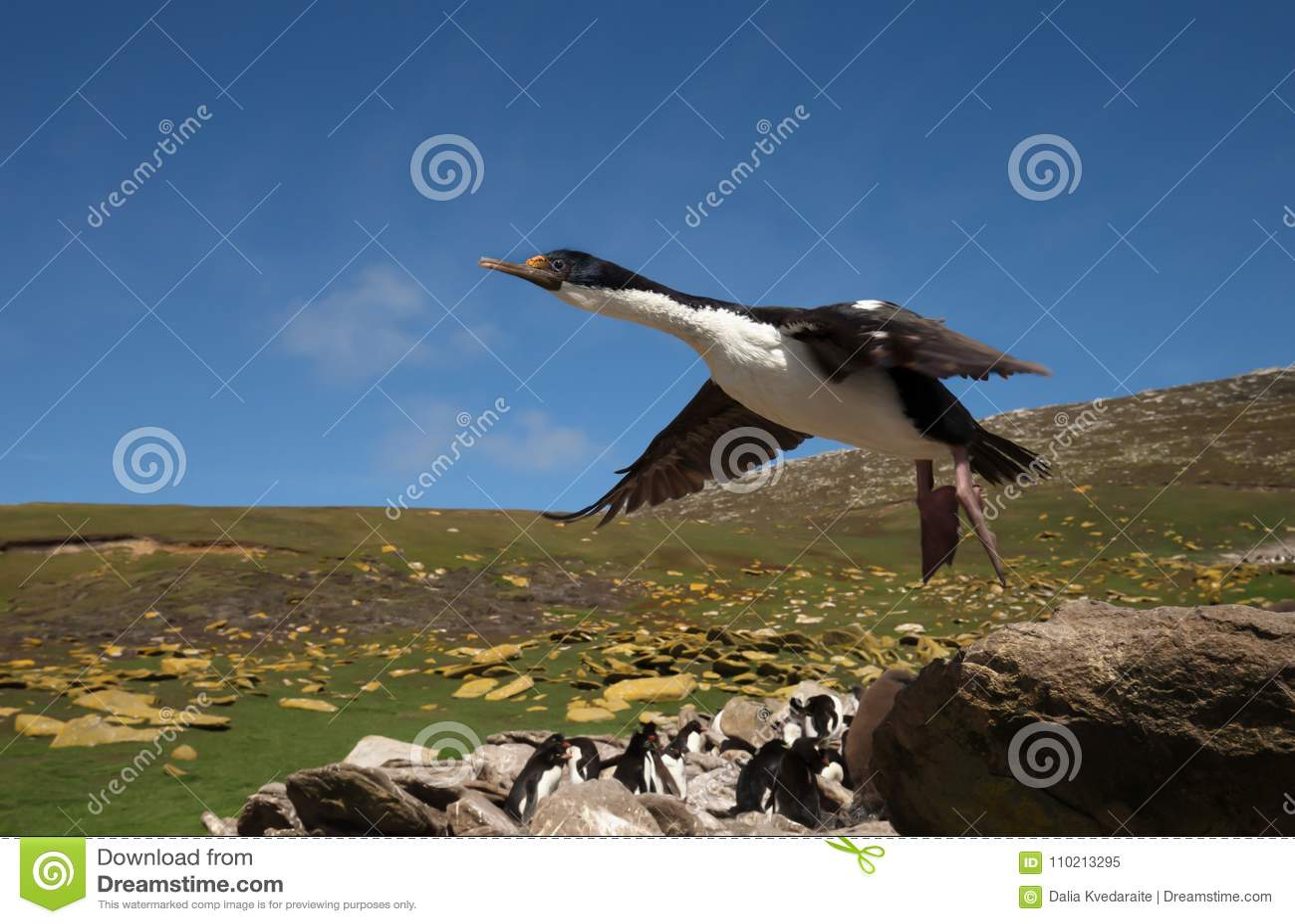 Fermez-vous de Cormorant impérial en vol