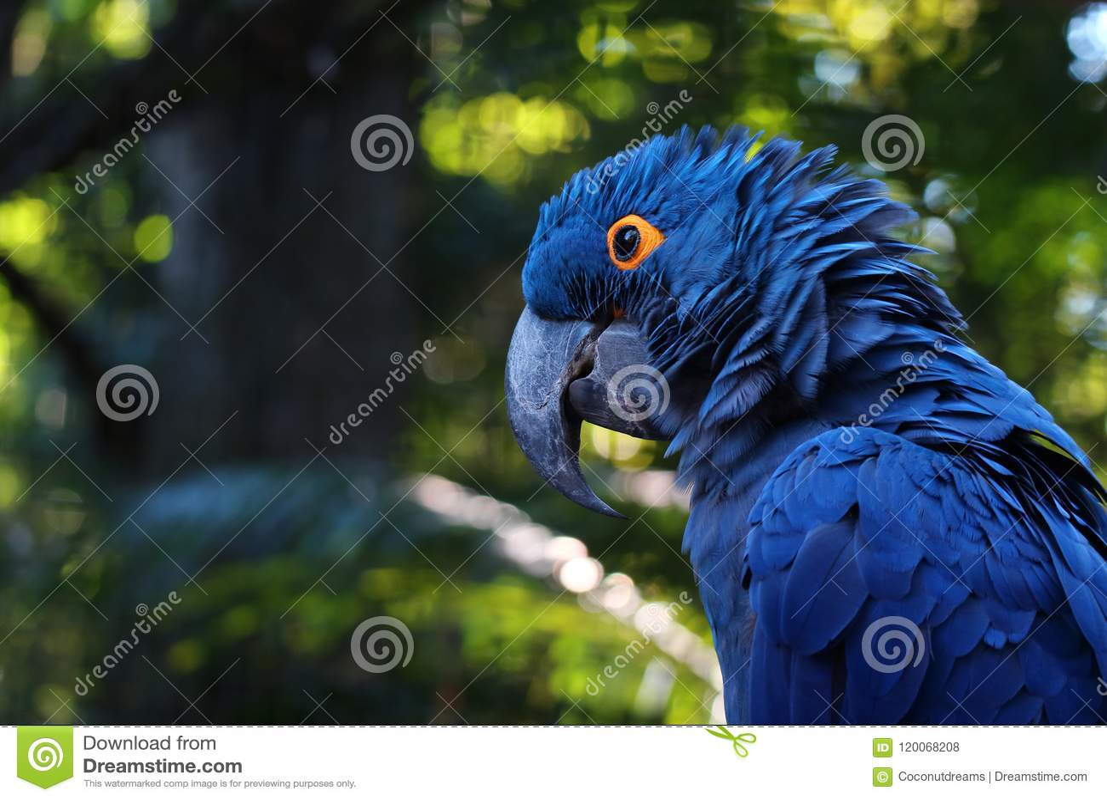 Fermez-vous de Hyacinth Macaw bleu vif, portrait bleu de perroquet avec le fond brouillé