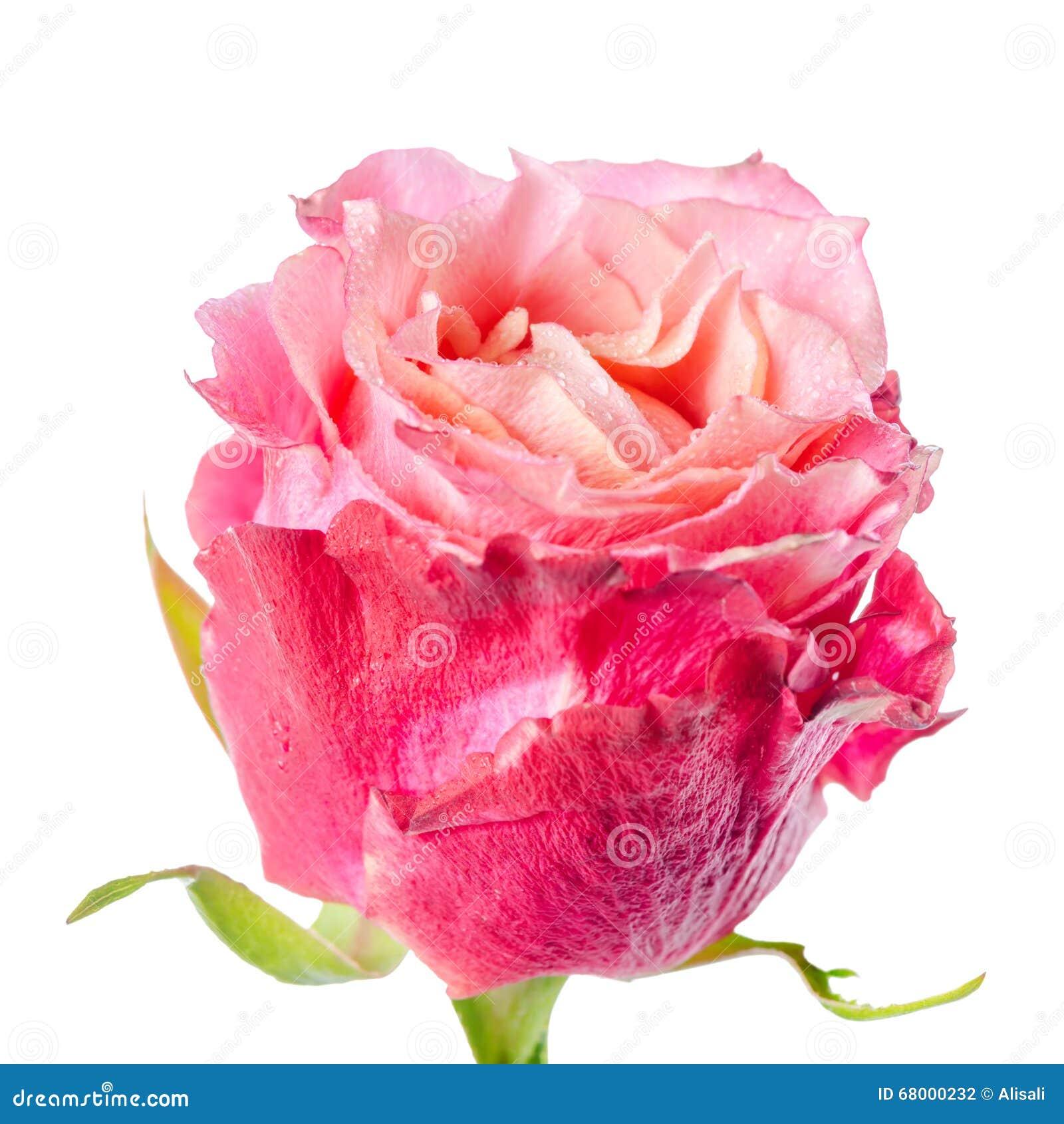 Fermez Vous De La Belle Fleur Rose Rouge Et Rose Romantique