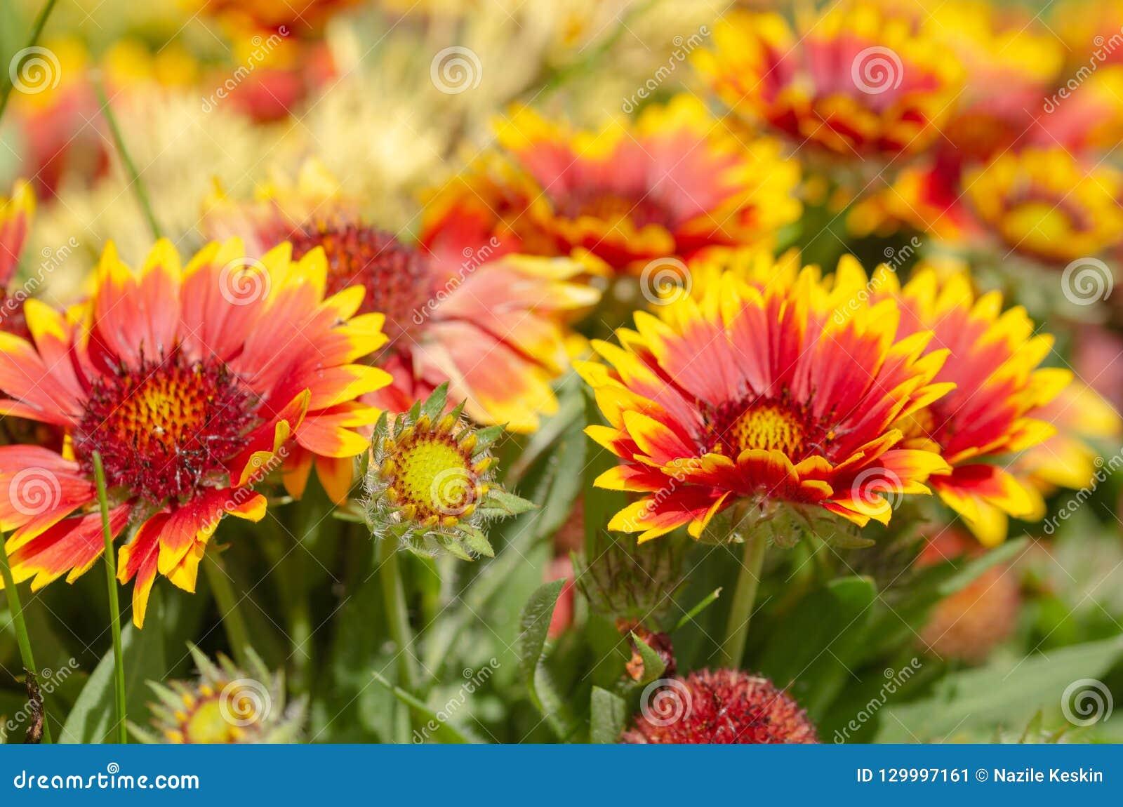 Fermez-vous de la fleur de gazania ou de la marguerite africaine