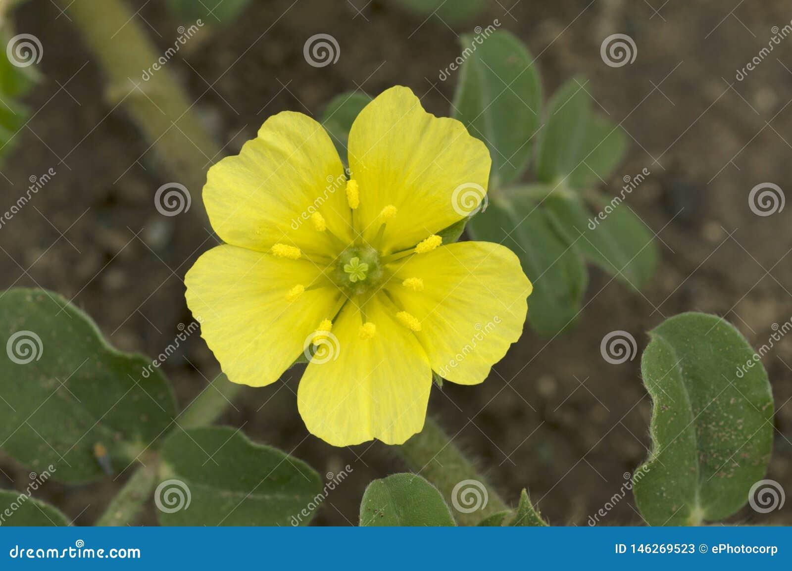 Fermez-vous de la fleur sauvage jaune pr?s de Pune, maharashtra, Inde