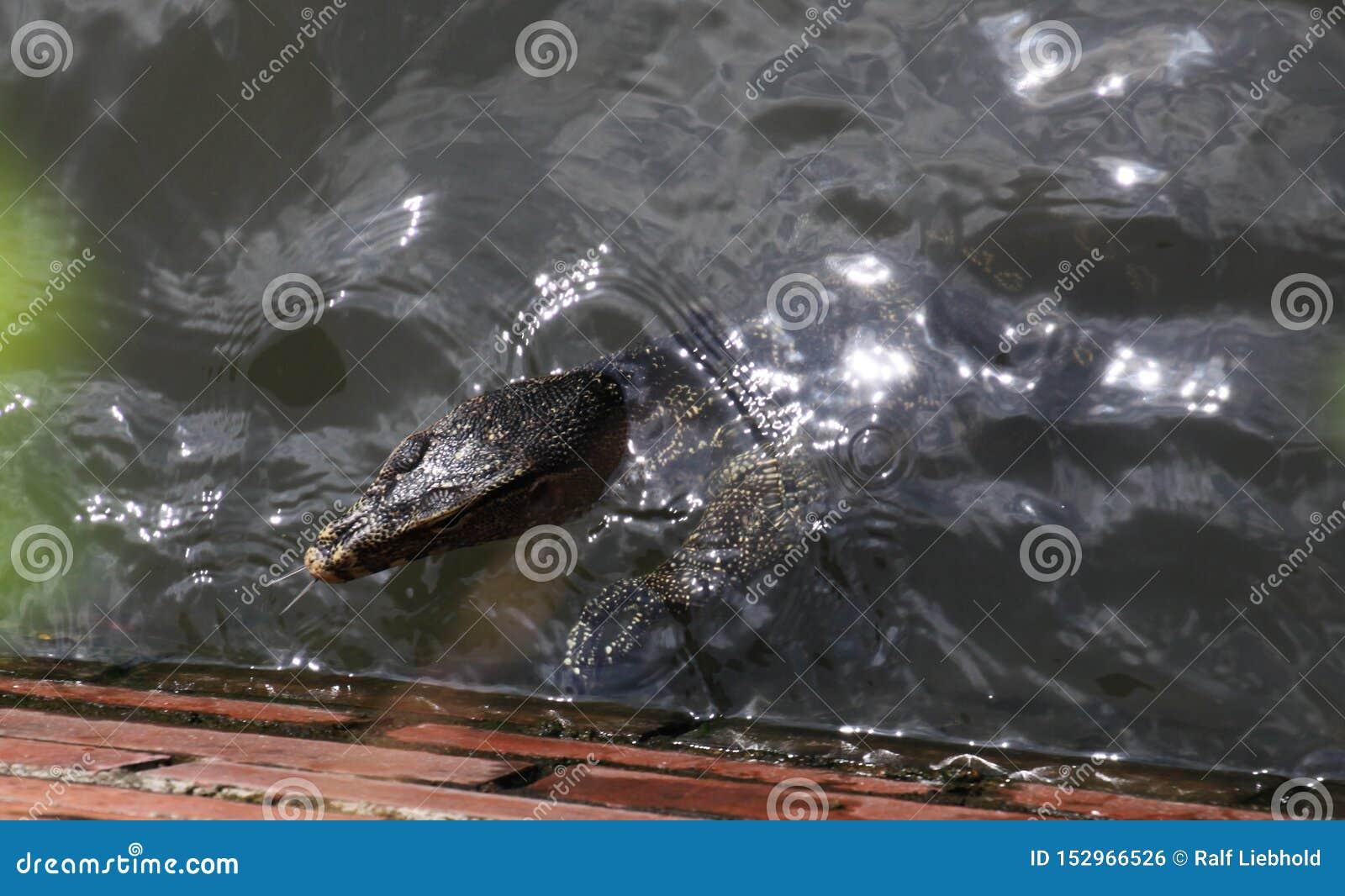 Fermez-vous de la natation asiatique de salvator de Varanus de lézard de moniteur de l eau en rivière de Bangkok montrant la lang