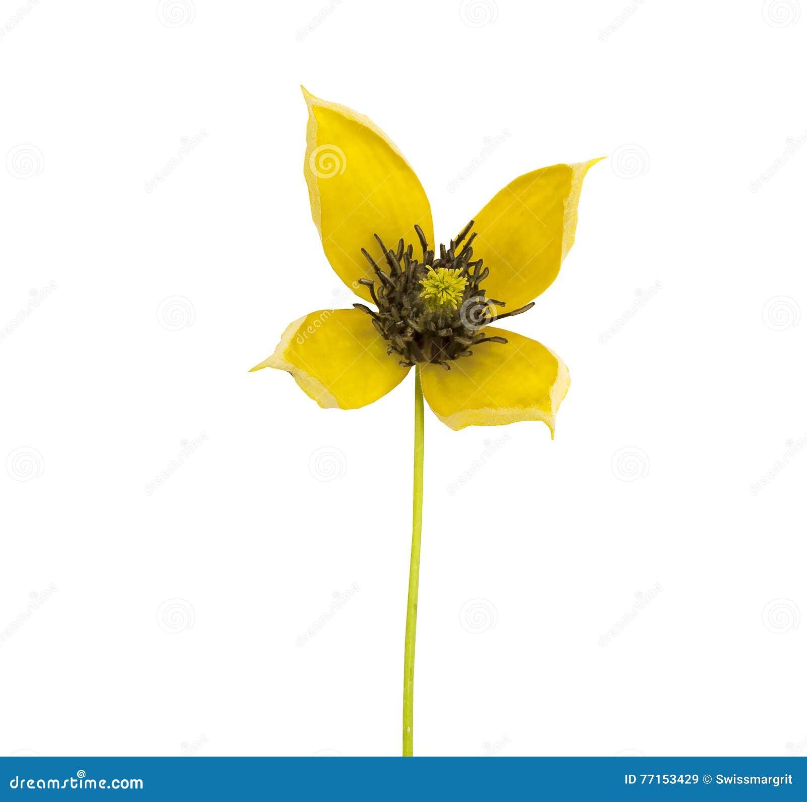 Fermez-vous de la petite clématite jaune