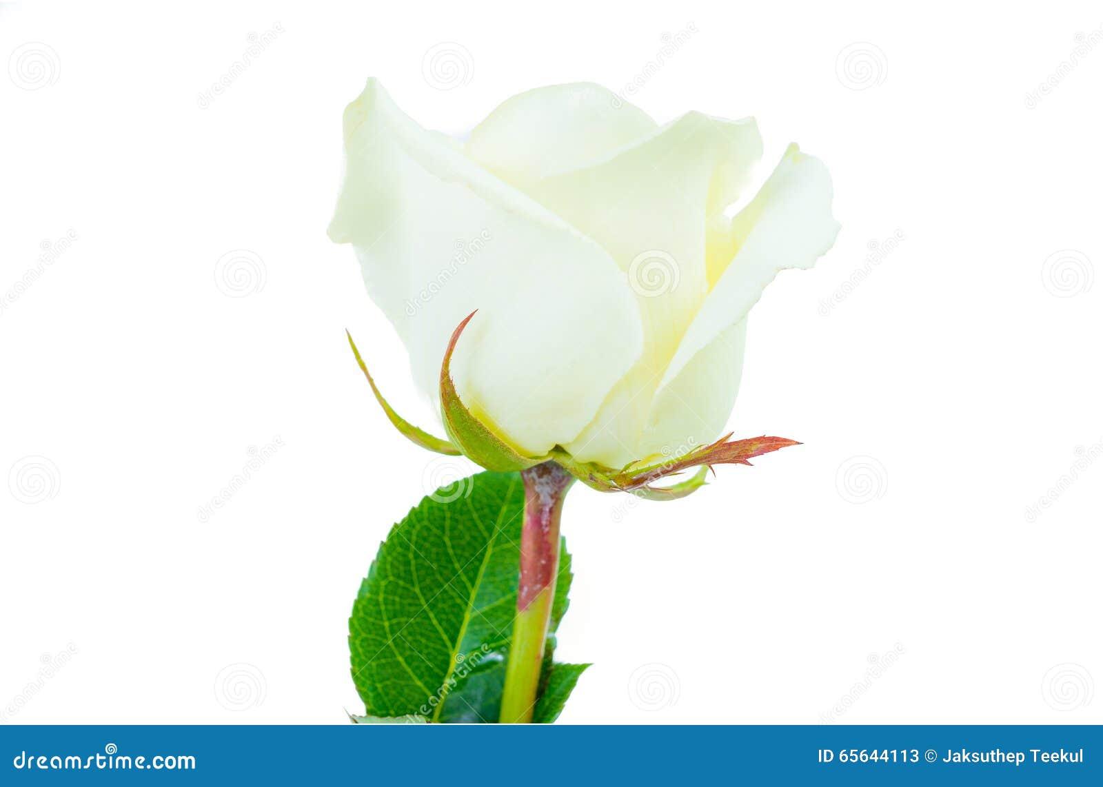 Fermez-vous de la rose de blanc d isolement sur le fond blanc
