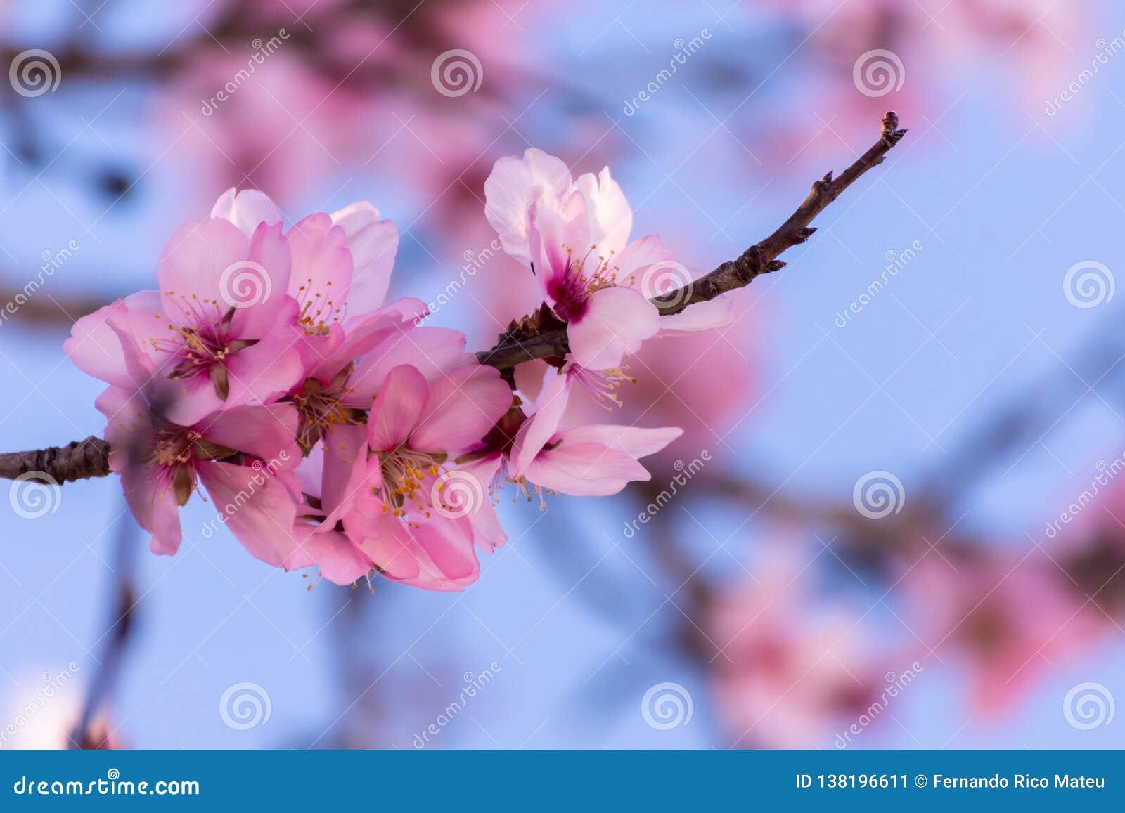 Fermez-vous des arbres d amande de floraison Belle fleur d amande sur les branches, au fond de printemps à Valence, l Espagne