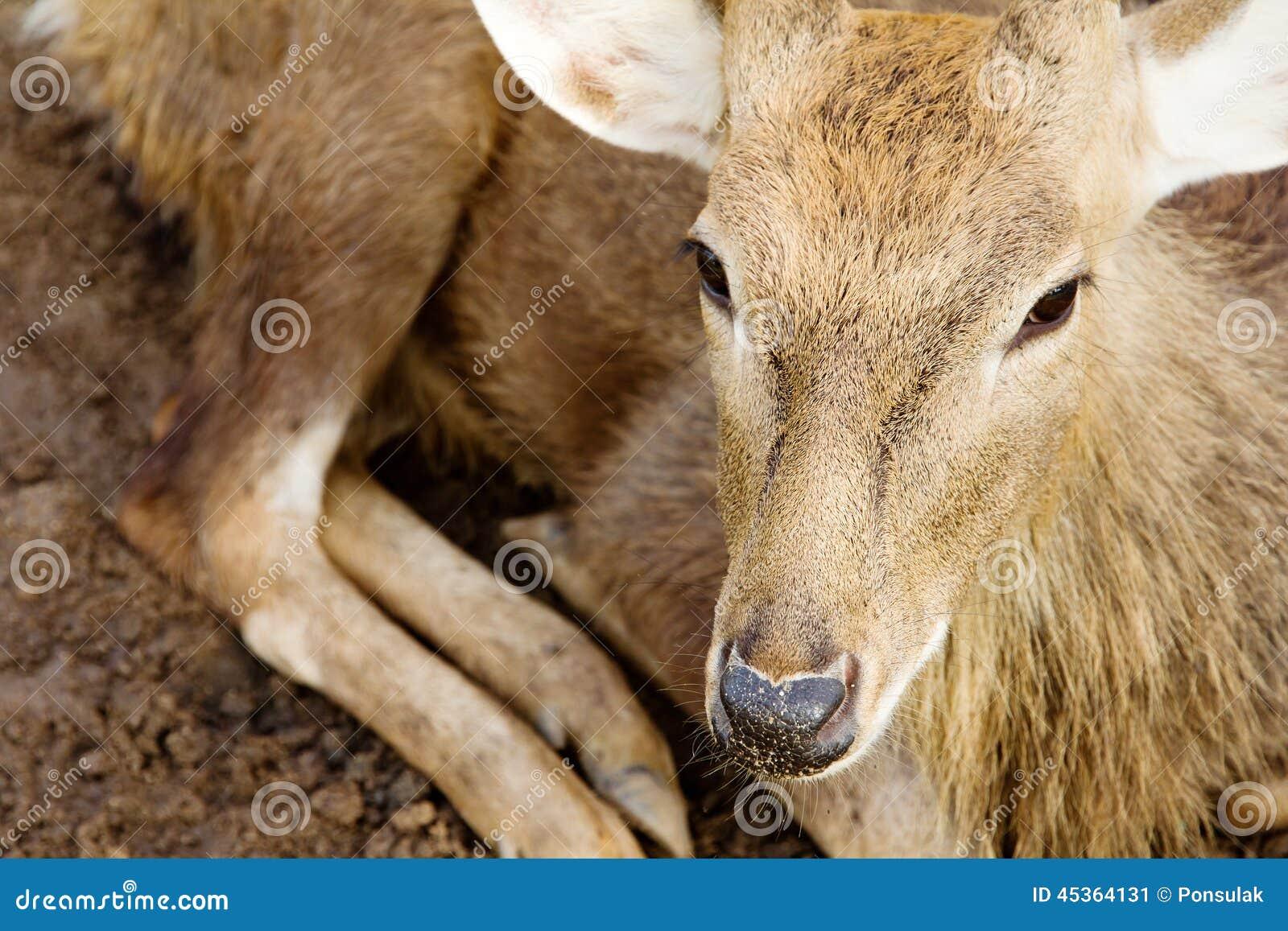 Fermez-vous des cerfs communs d axe