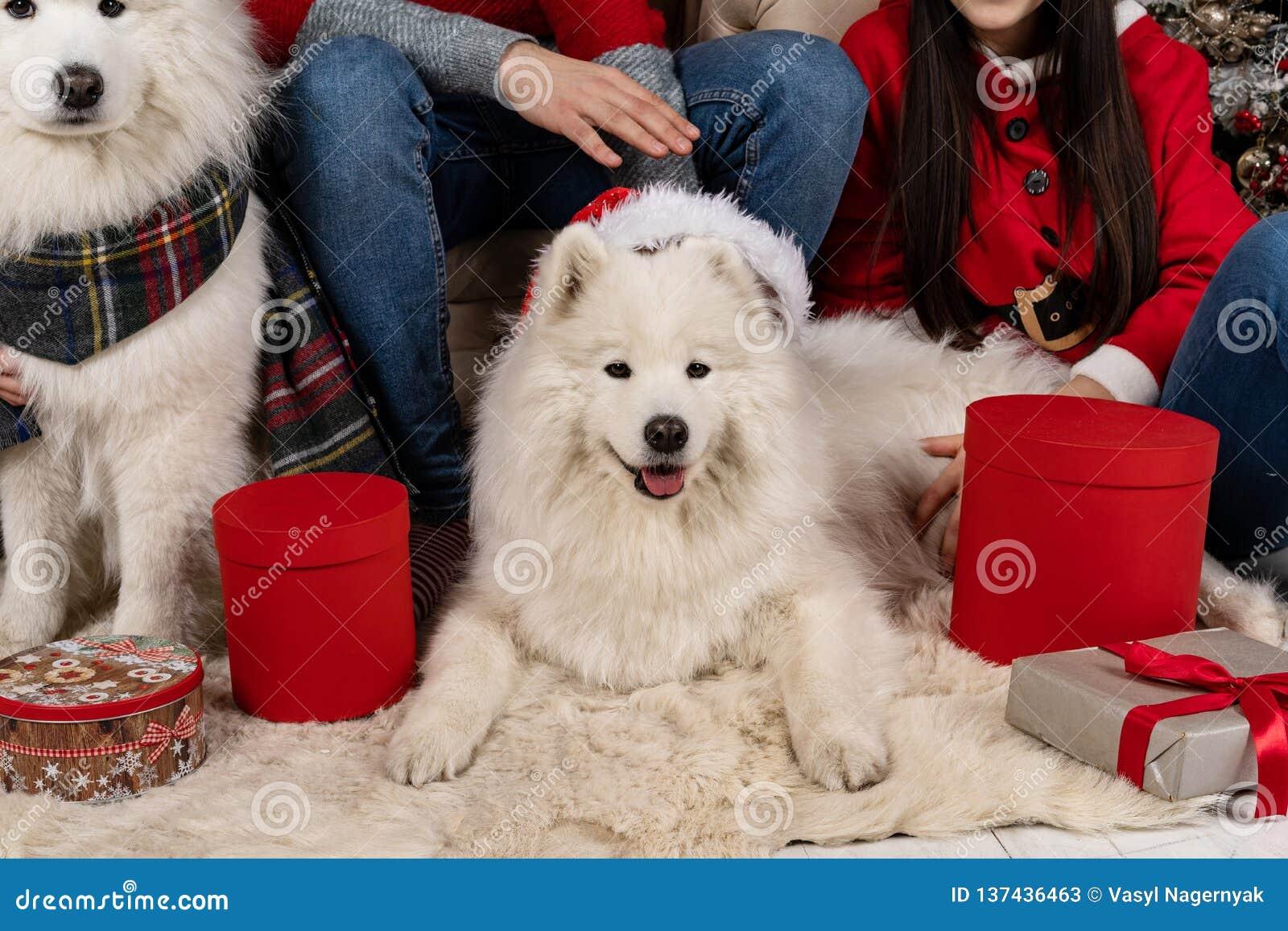 Fermez-vous des chiens samoed mignons blancs dans le chapeau de Santa