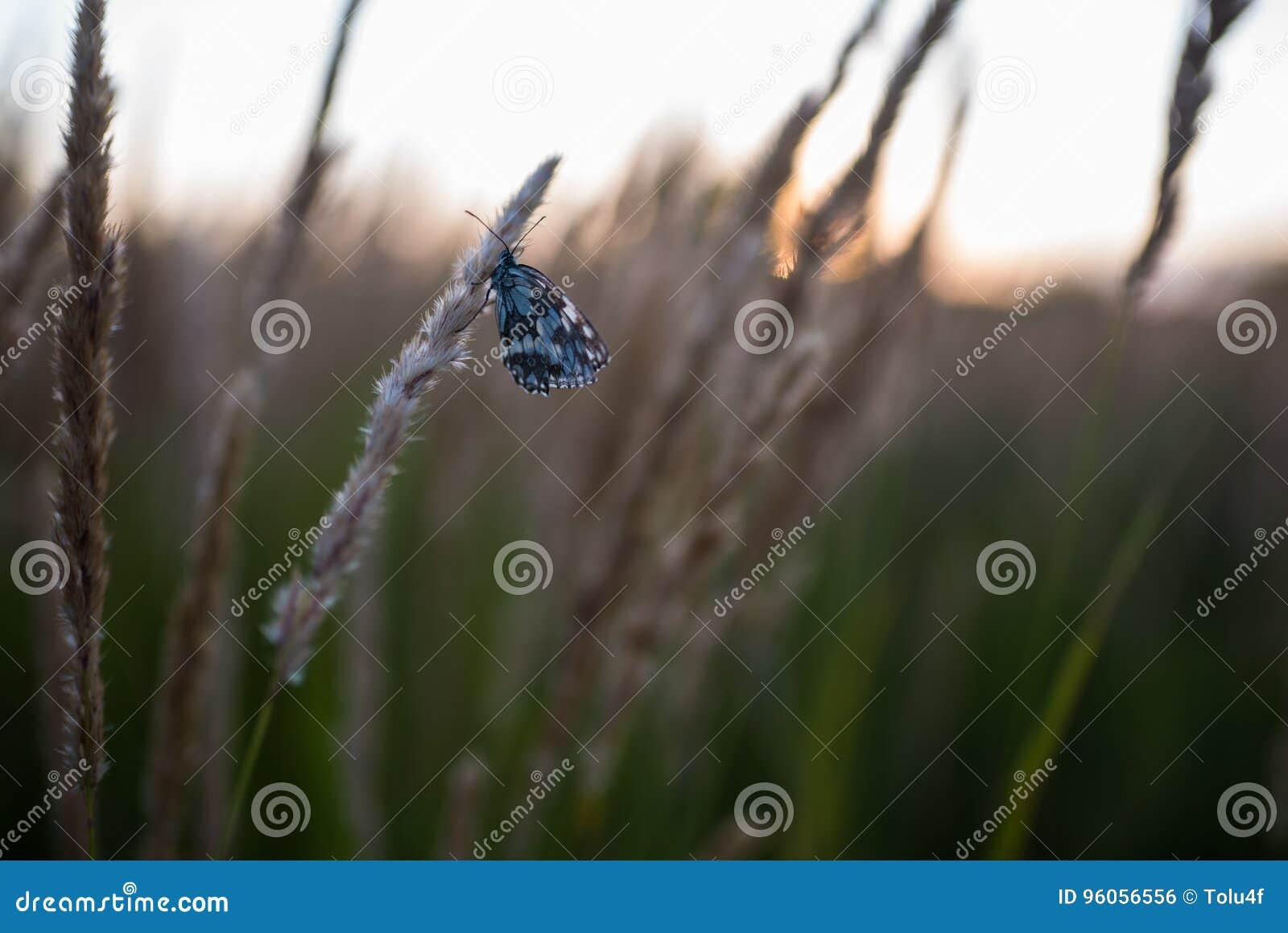 Fermez-vous des fleurs de champ d herbe à la lumière de coucher du soleil fond coloré de nature avec le papillon