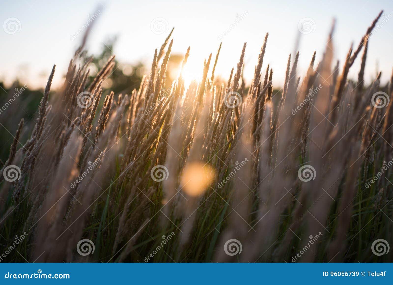 Fermez-vous des fleurs de champ d herbe à la lumière de coucher du soleil nature colorée de fond