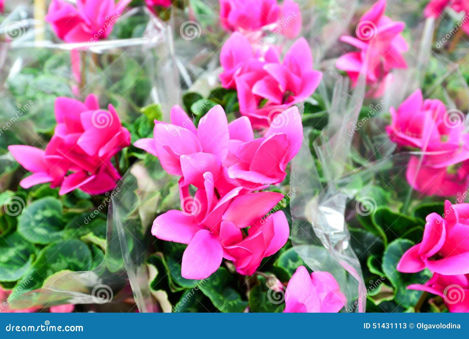 fermez vous des fleurs roses de cyclamen avec leurs feuilles ornementales cultiv es en tant que. Black Bedroom Furniture Sets. Home Design Ideas