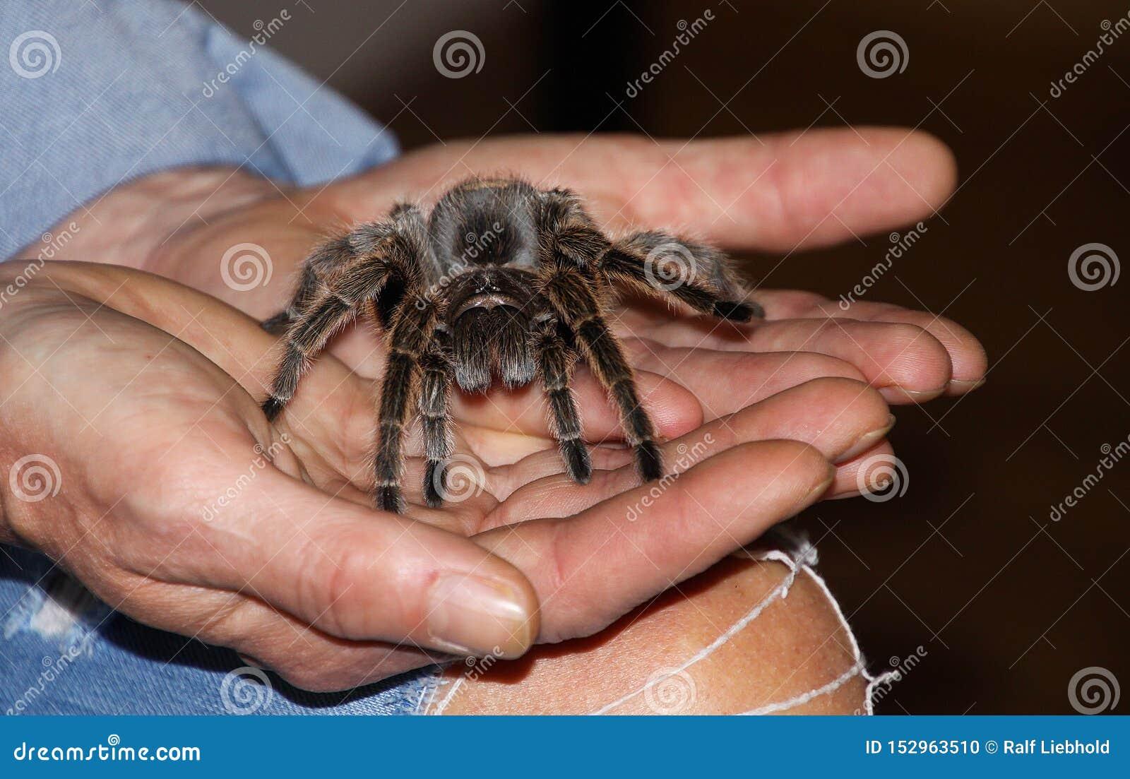 Fermez-vous des mains humaines tenant l araignée toxique de tarentule