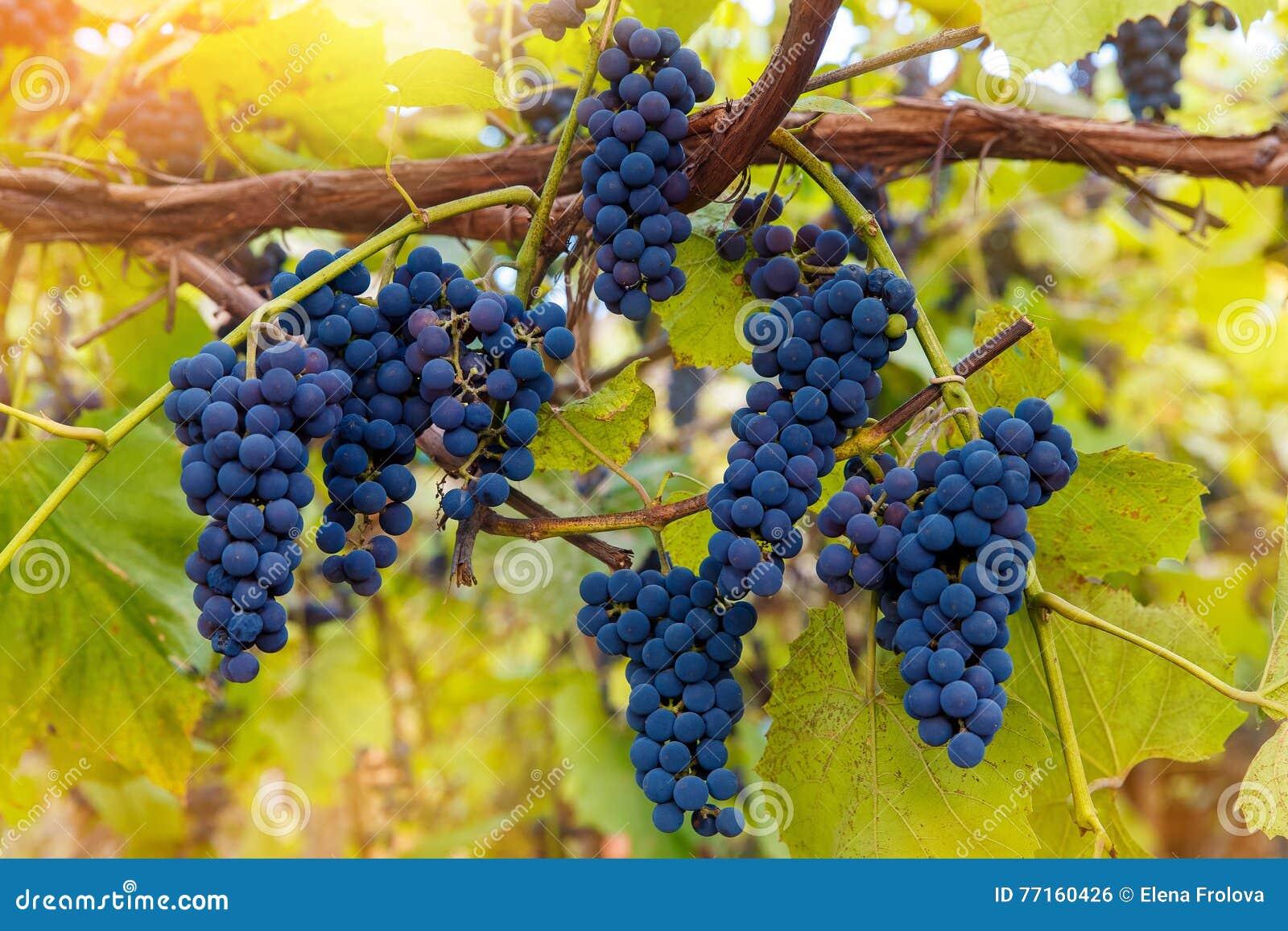 Fermez-vous des raisins de vin rouge accrochant sur la vigne pendant l après-midi