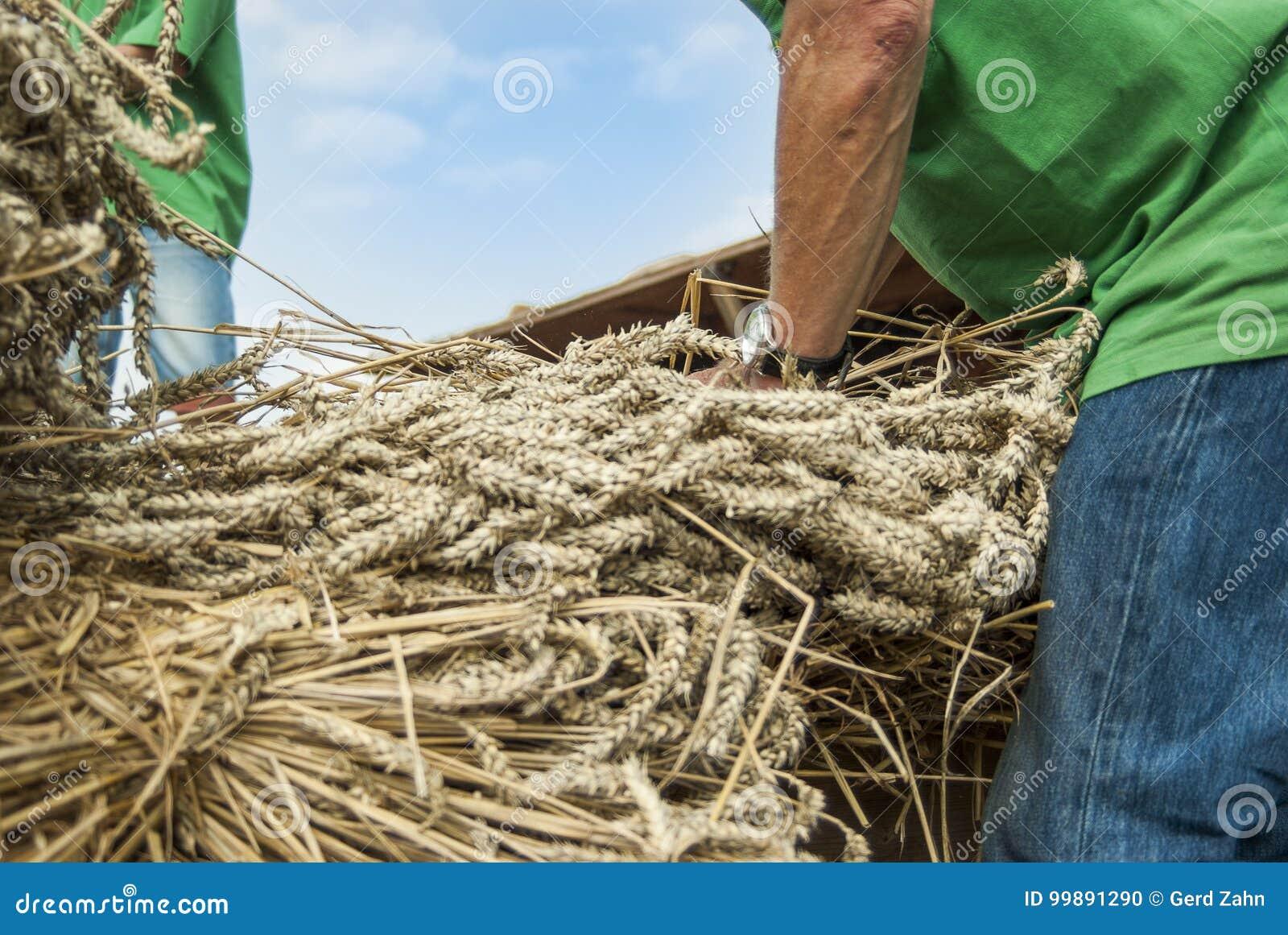 Fermez-vous du blé fauché donné par des personnes au battage dans une batteuse historique