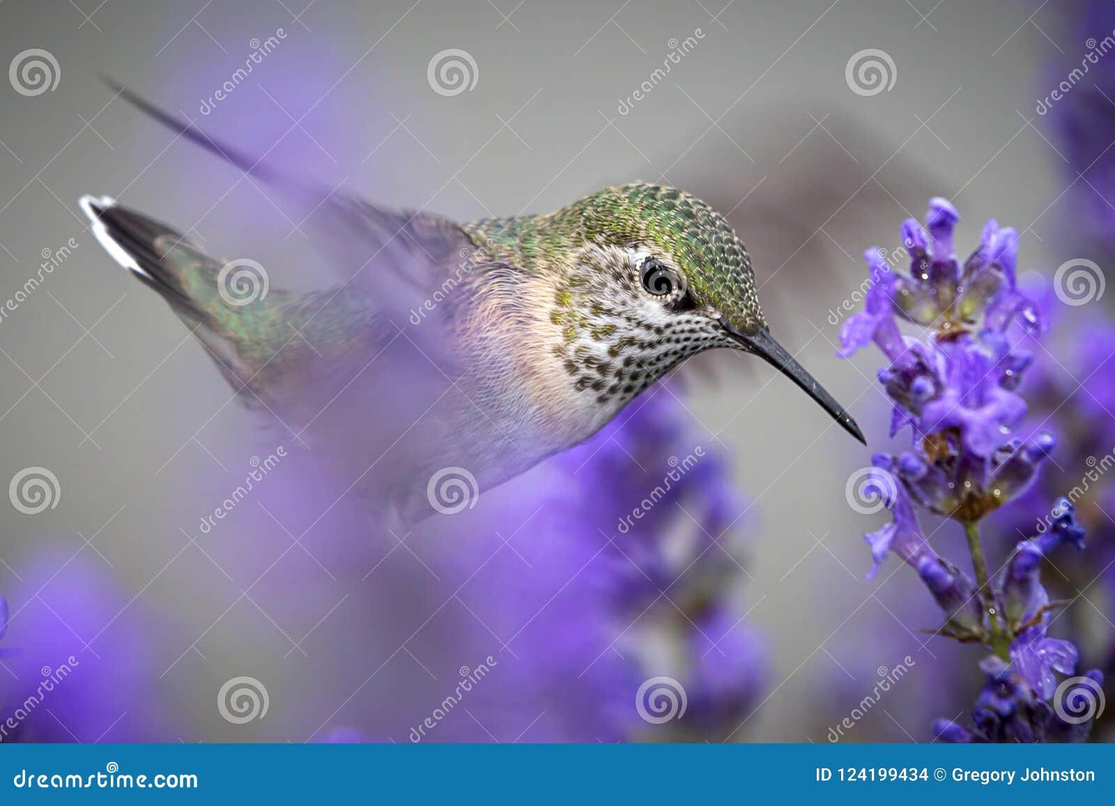 Fermez-vous du colibri rufous femelle