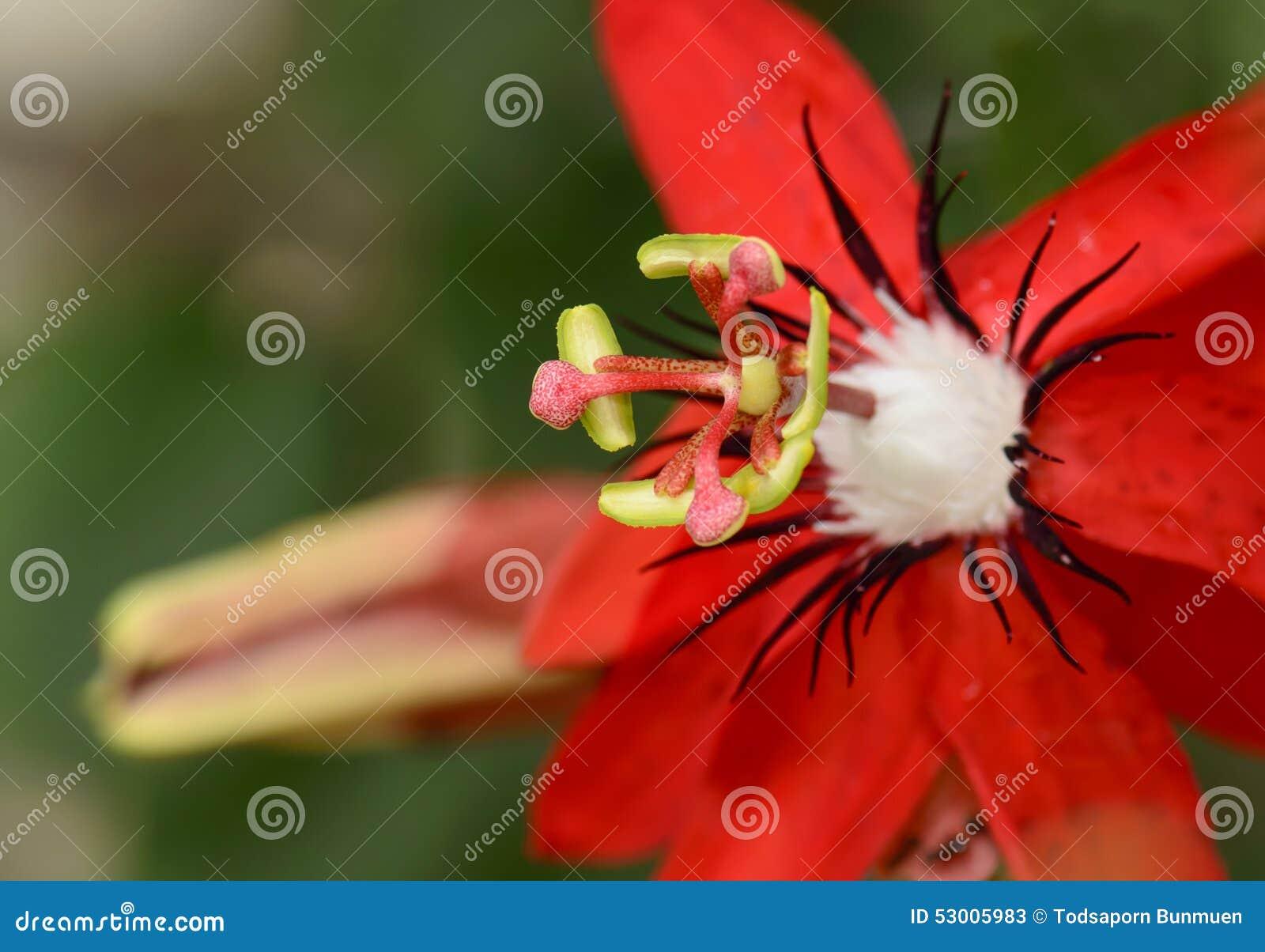 fermez vous du passiflore racemosa fleur rouge de passiflore comestible de passiflore image. Black Bedroom Furniture Sets. Home Design Ideas