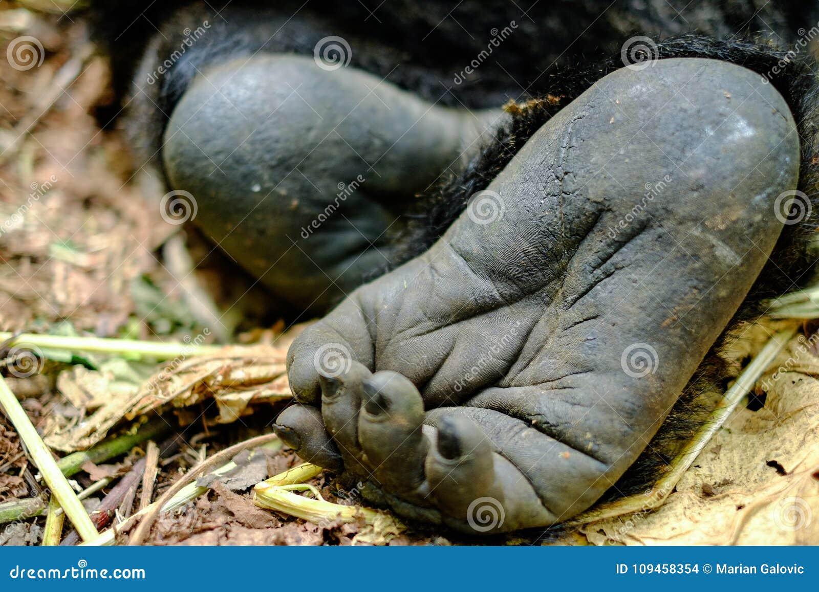 Fermez-vous du pied de gorille de montagne