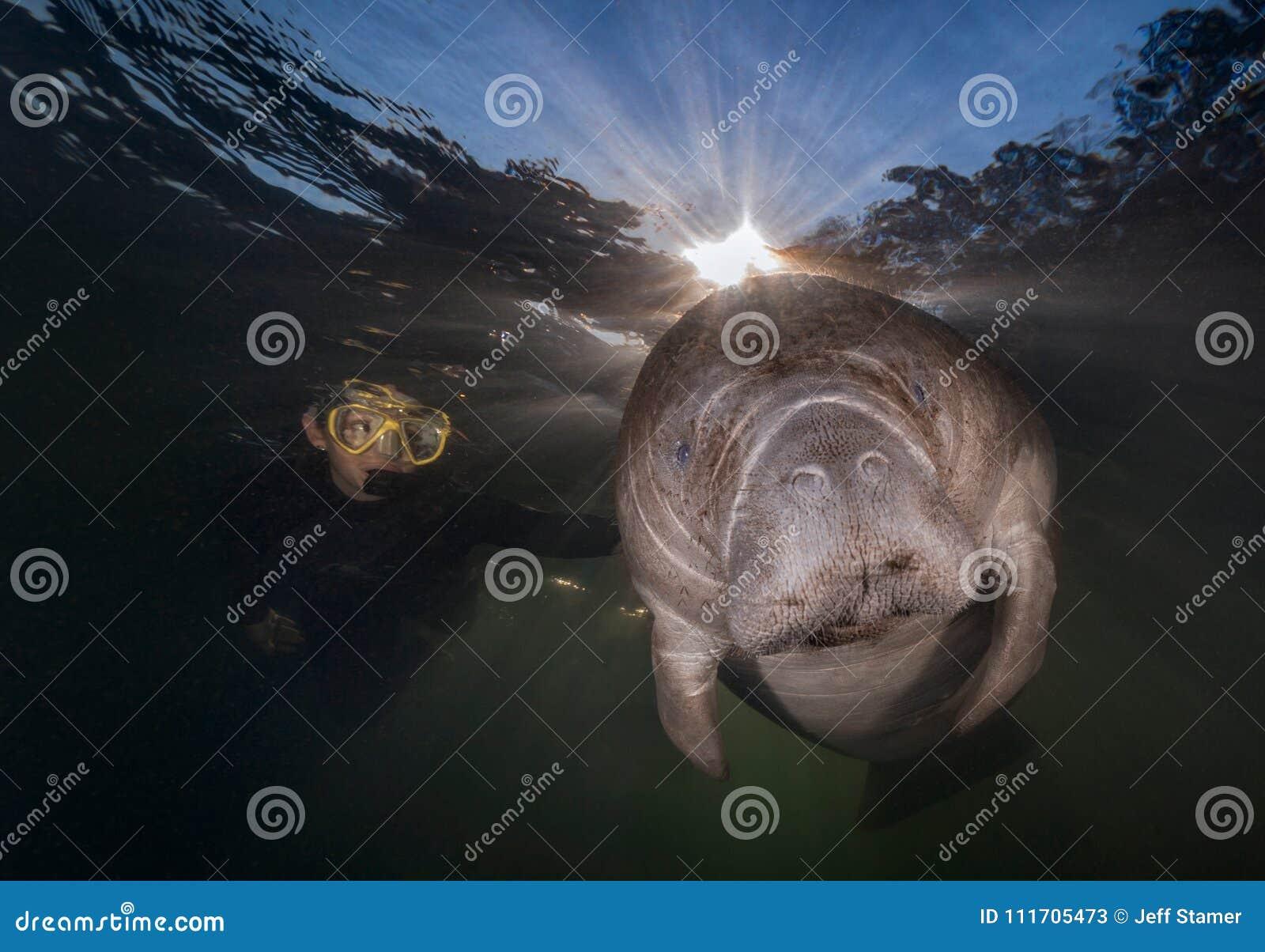 Fermez-vous du plongeur choyant un lamantin de la Floride