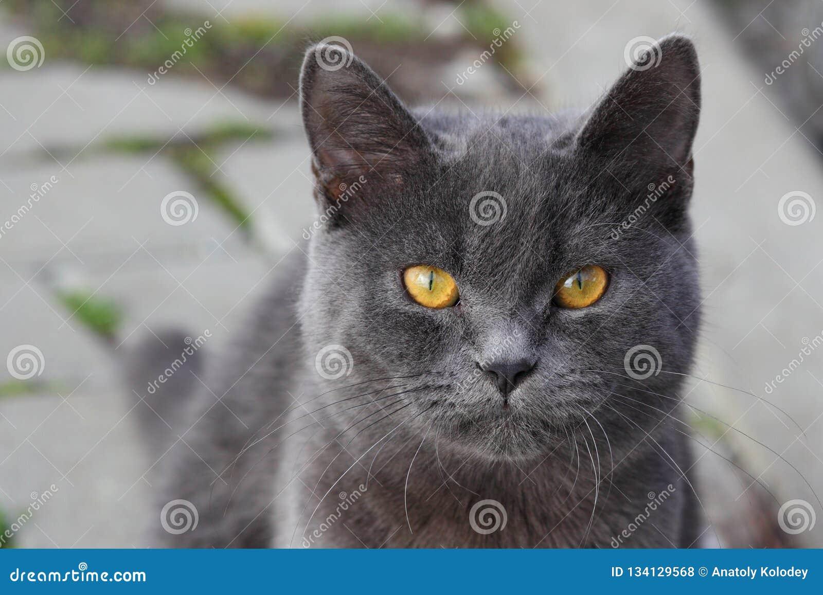 Fermez-vous du visage britannique d en de chat de shorthair