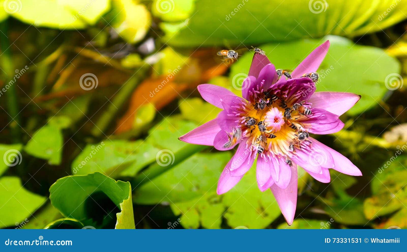 Fermez-vous et brouillez le vol et les abeilles d abeille de miel de fond rassemblant le pollen dedans profondément du nénuphar p