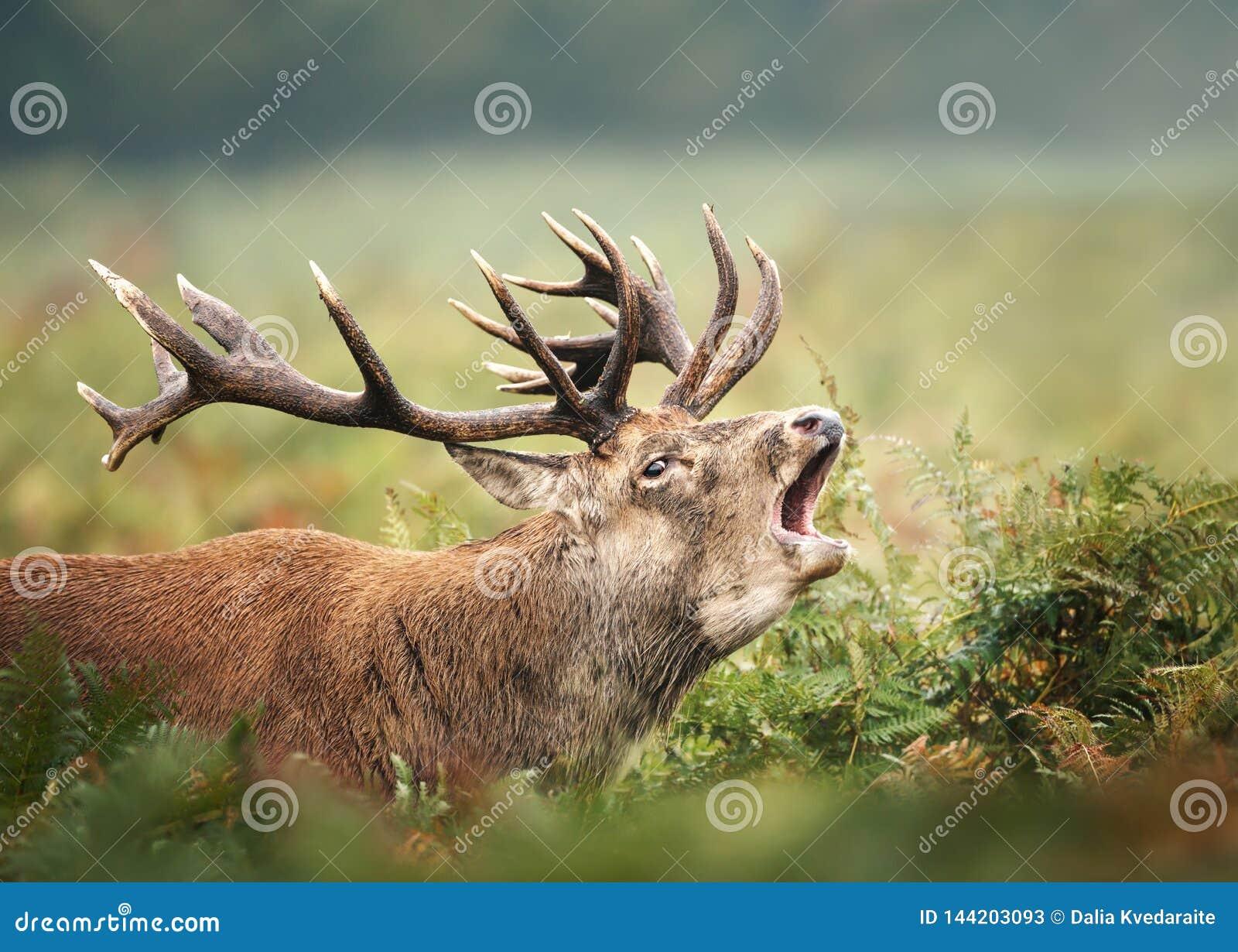 Fermez-vous mâle de cerfs communs rouges d appelle