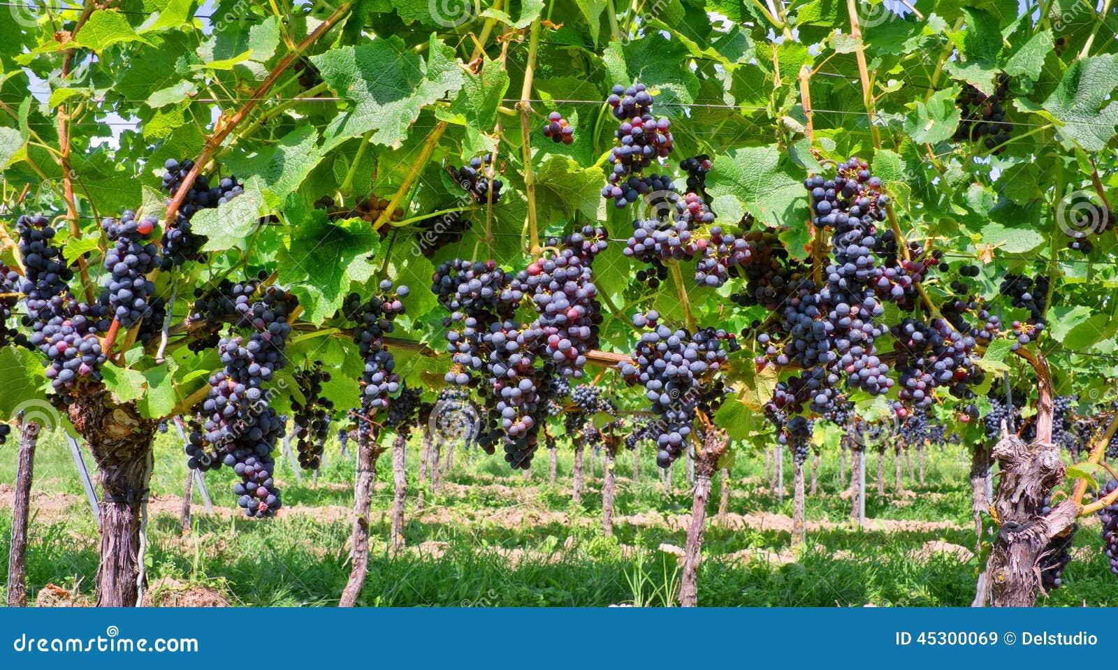 Fermez-vous sur les raisins noirs rouges