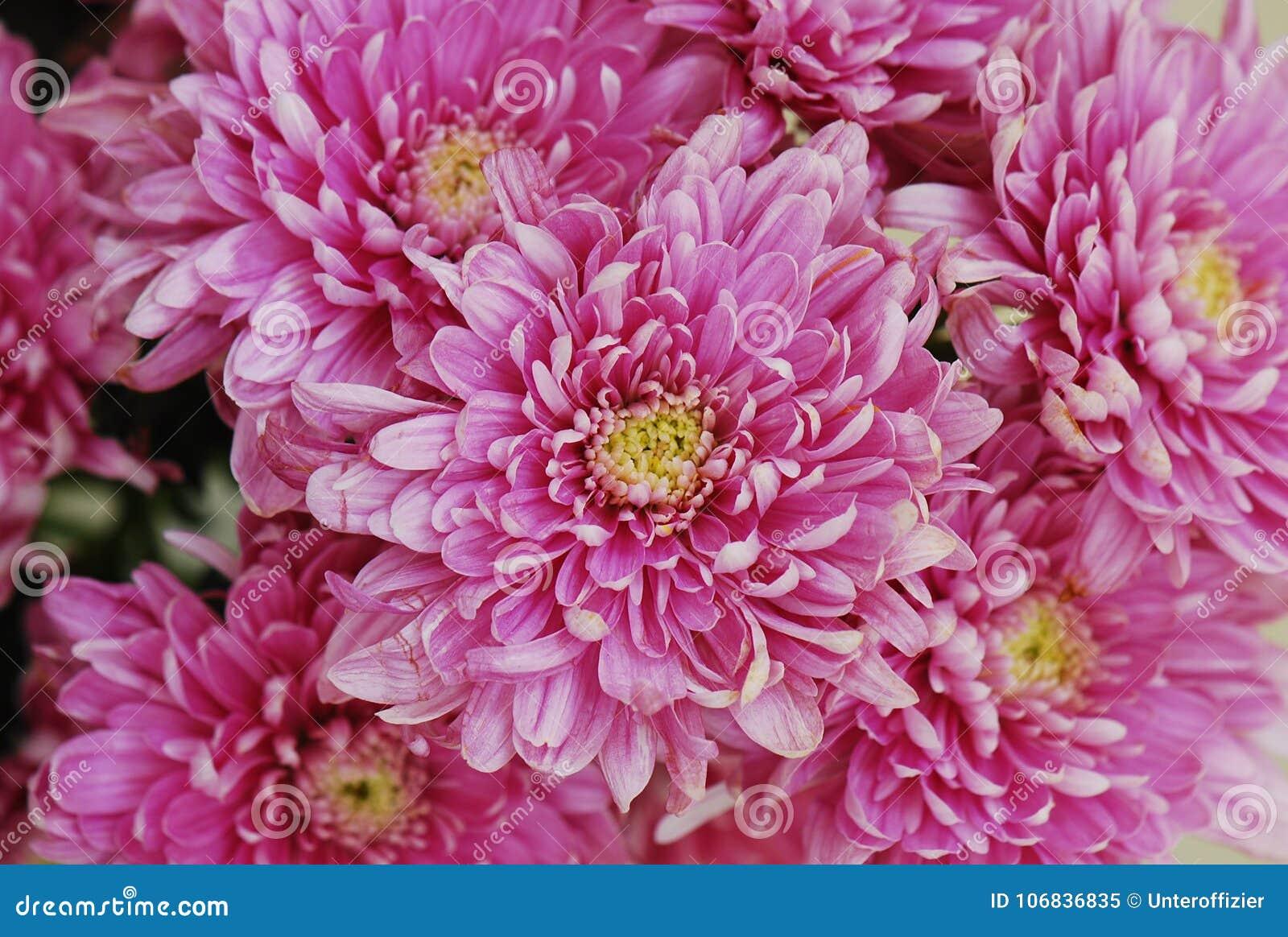 fermez-vous sur quelques fleurs rouges de chrysanthème image stock