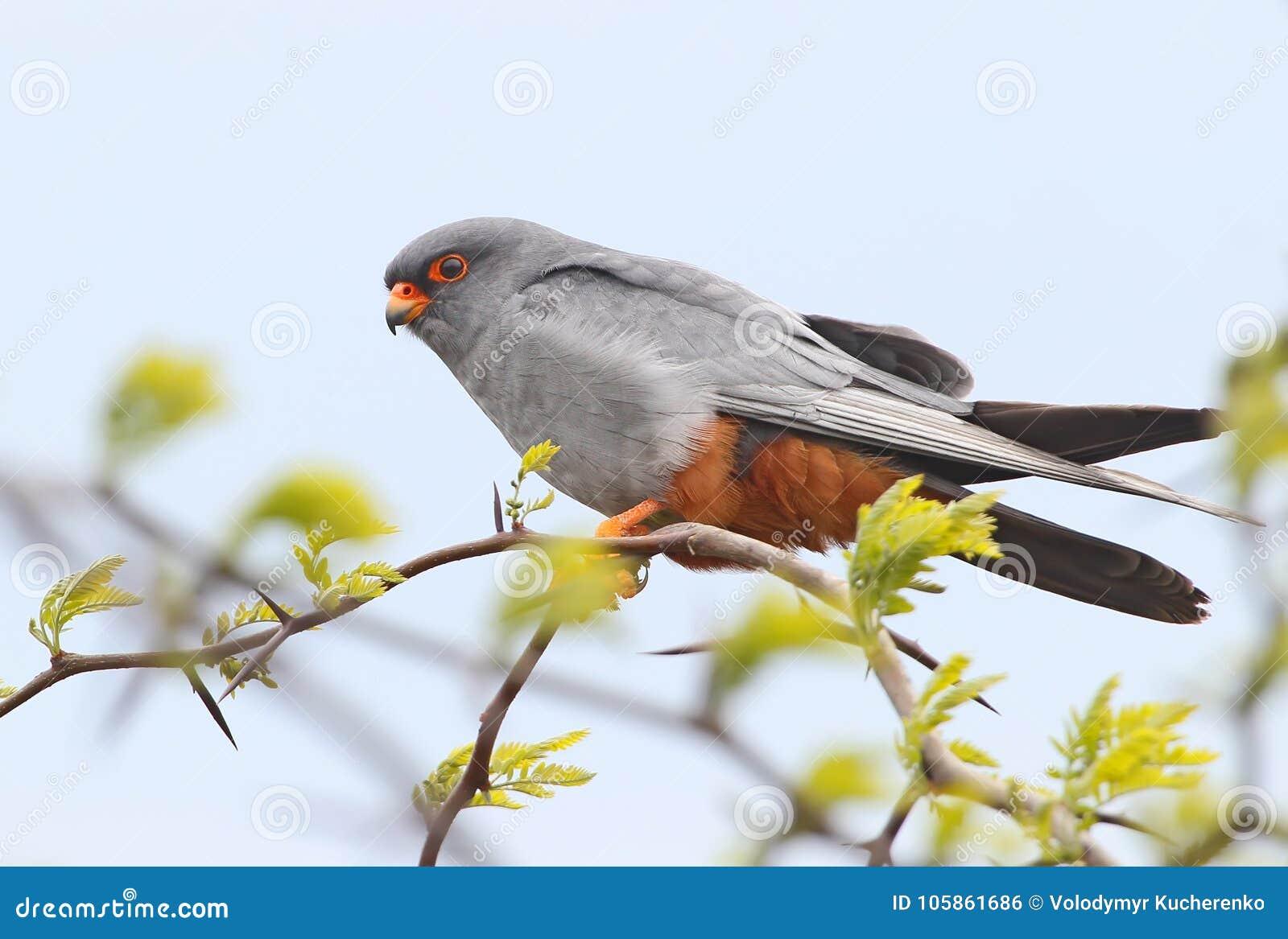 Fermez-vous très vers le haut du portrait du faucon aux pieds rouge