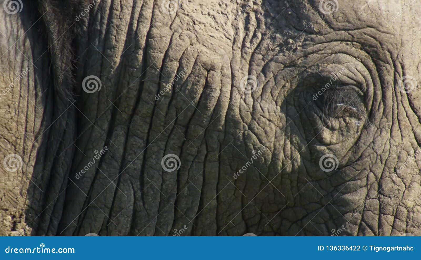 Fermez-vous vers le haut d un éléphant de taureau africain, la savane, Afrique