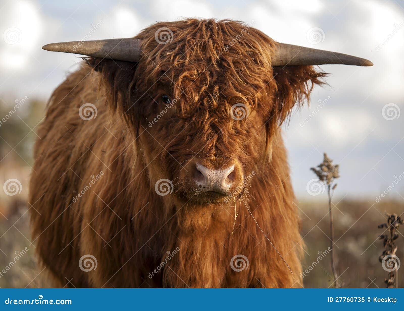 Fermez-vous vers le haut d une vache écossaise à montagnard