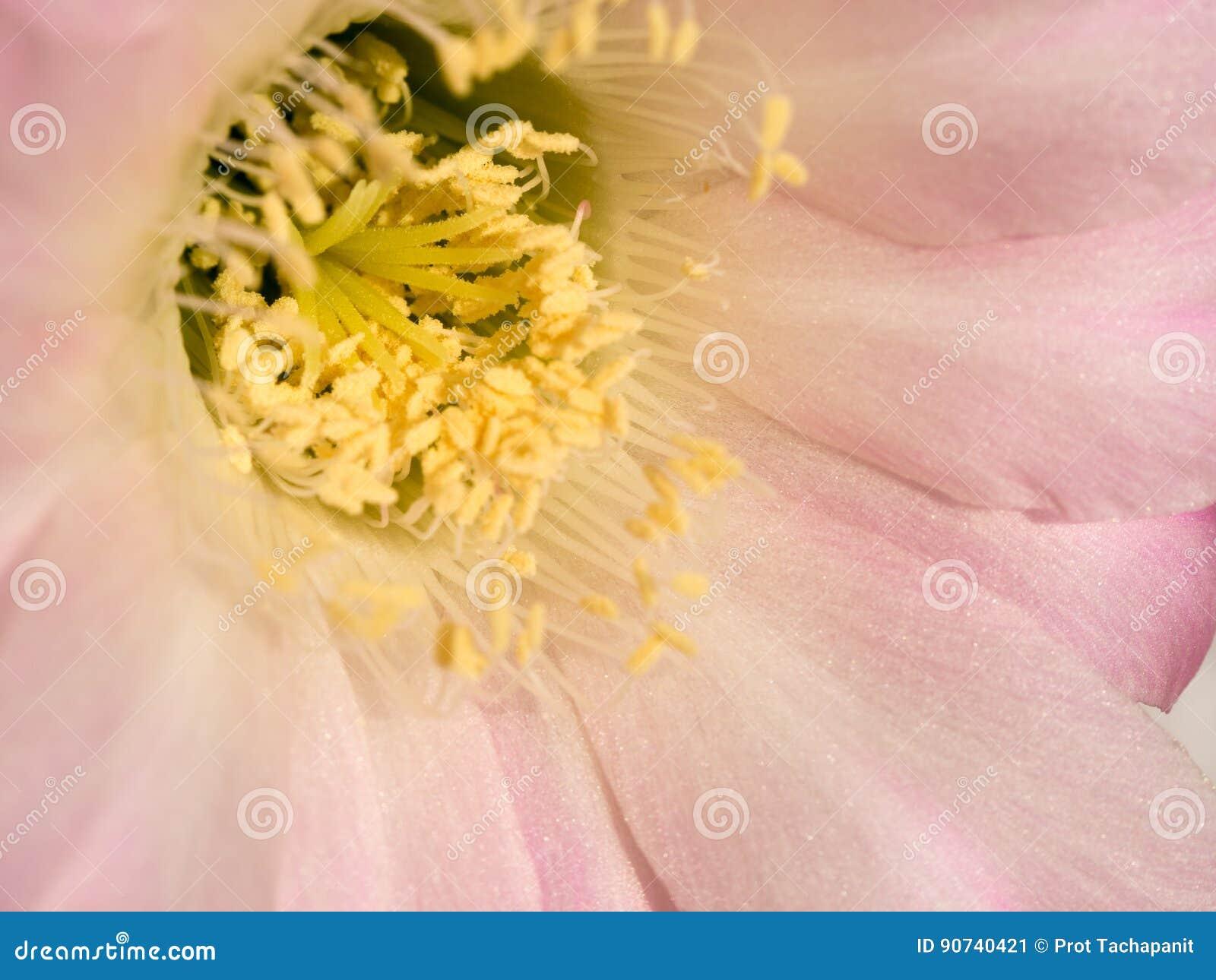 fermez-vous vers le haut de l'étamine jaune sur la fleur rose de