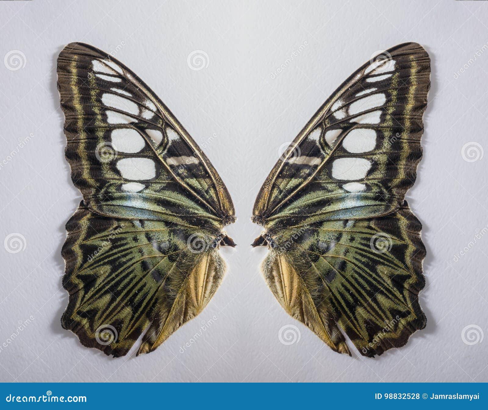 Aile De Papillon fermez-vous vers le haut de l'aile de papillon, photo stock - image