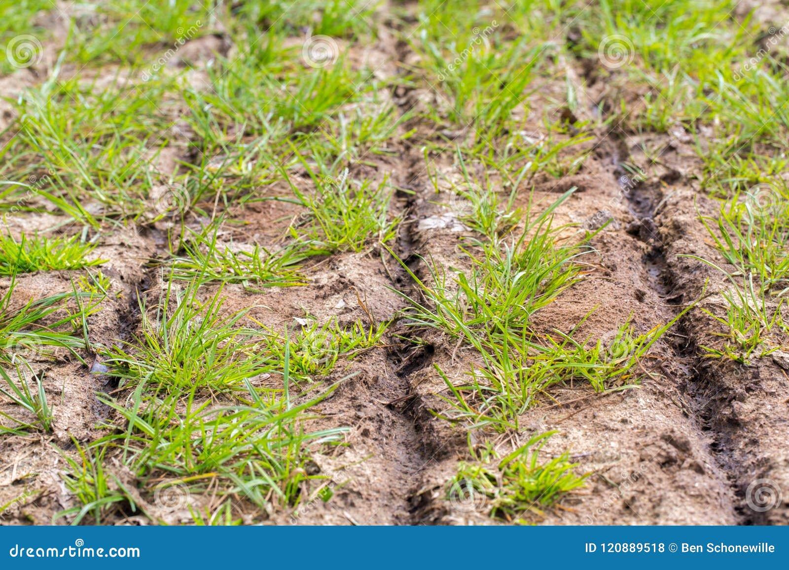 Fermez-vous vers le haut de l engrais injecté sur l herbe avec des fentes