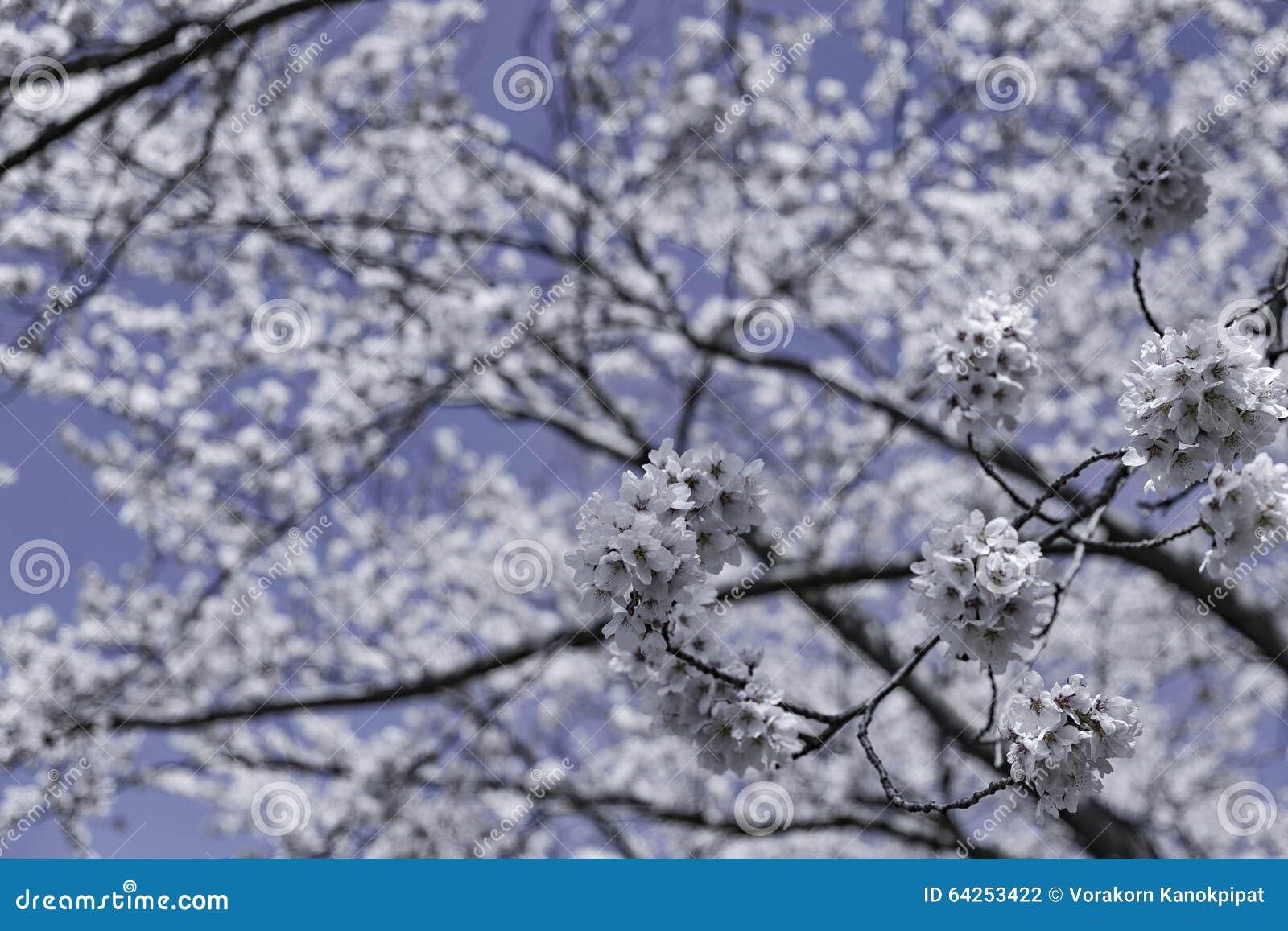 Fermez vous vers le haut de la fleur de sakura de fleur sur l 39 arbre sous le ciel d 39 hiver photo - Fleur d hiver exterieur ...