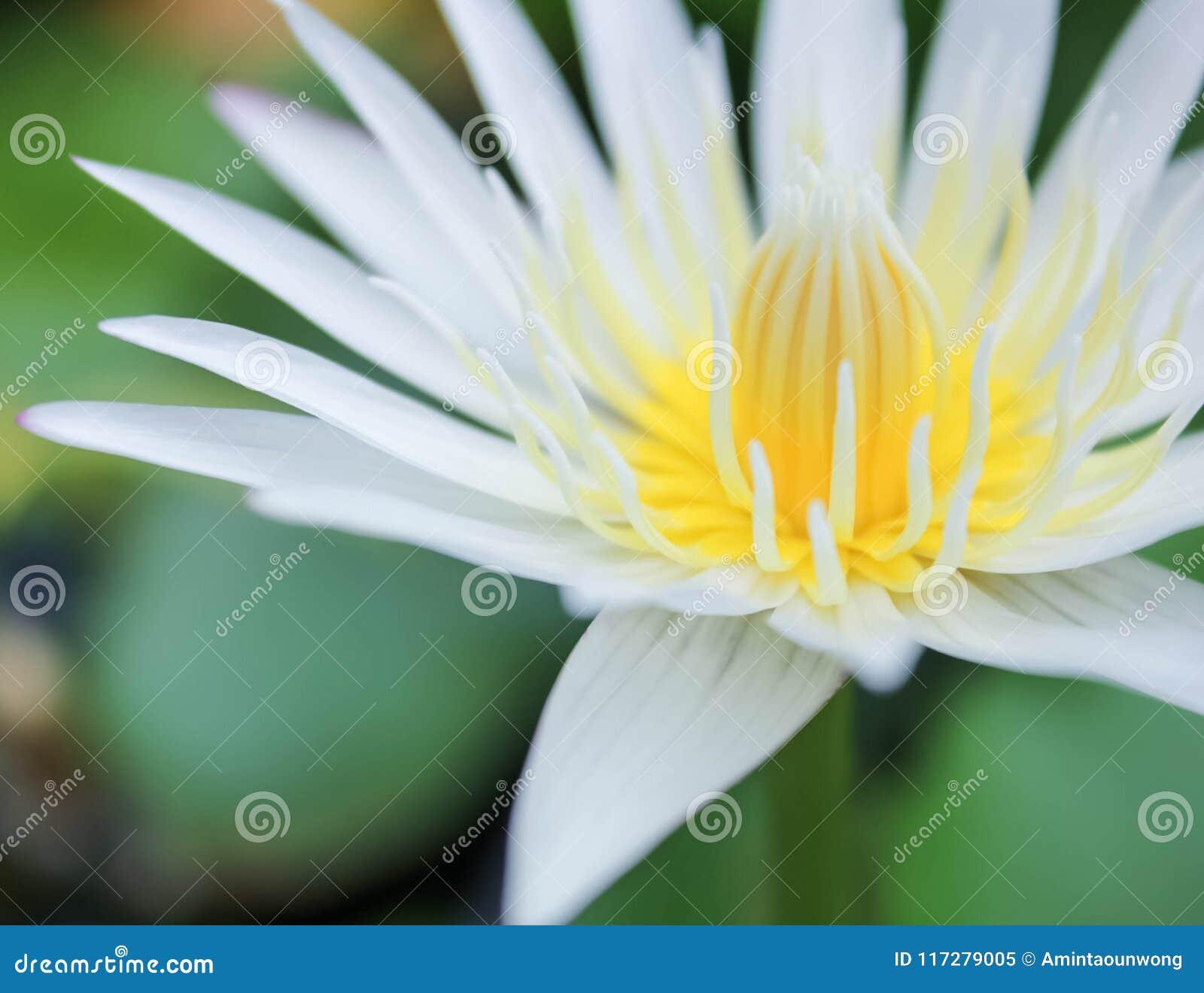 Fermez-vous vers le haut de la fleur ou du nénuphar de lotus blanc avec des feuilles de vert sur l eau