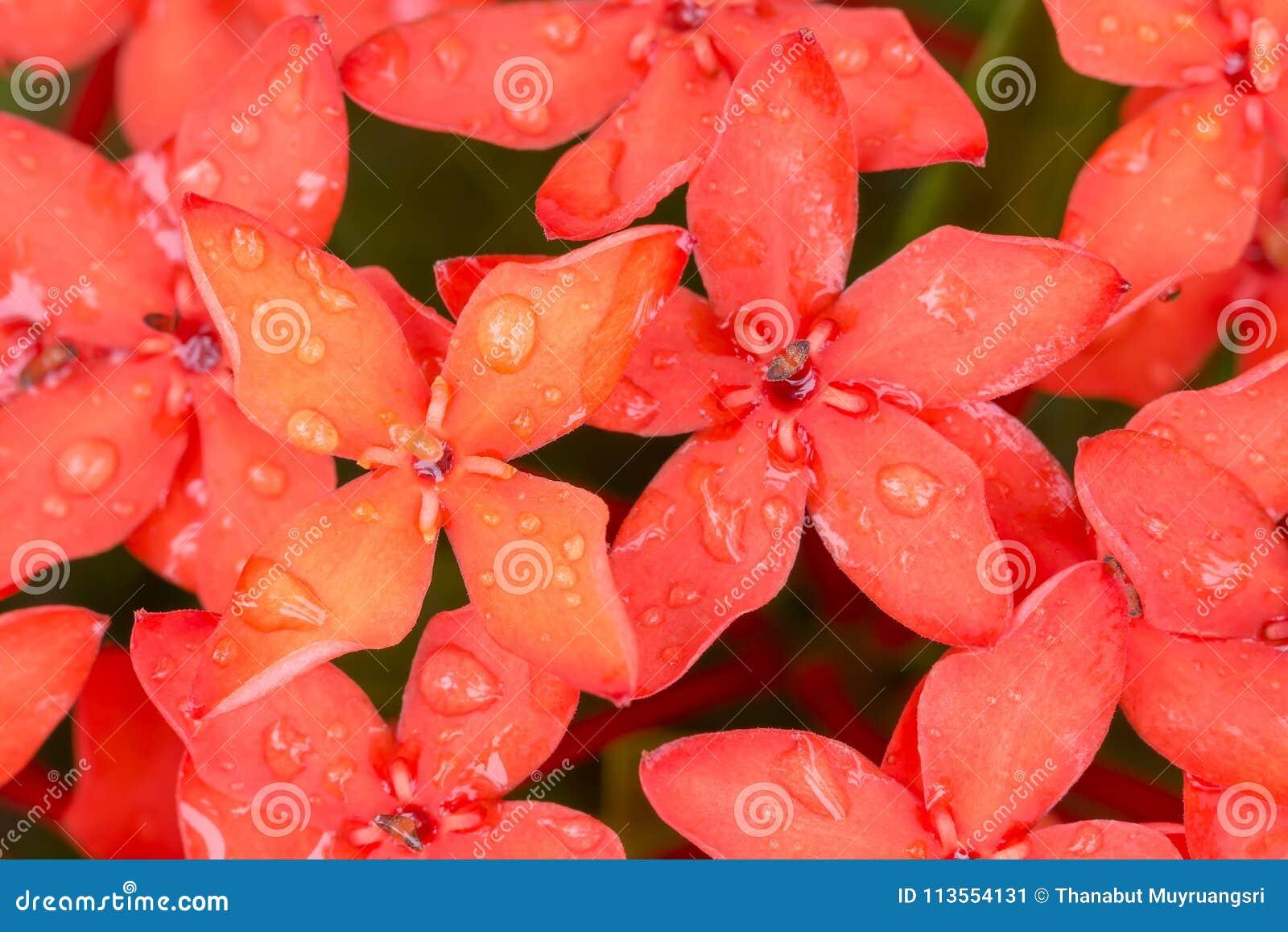 Fermez-vous vers le haut de la fleur rouge de transitoire d Ixora