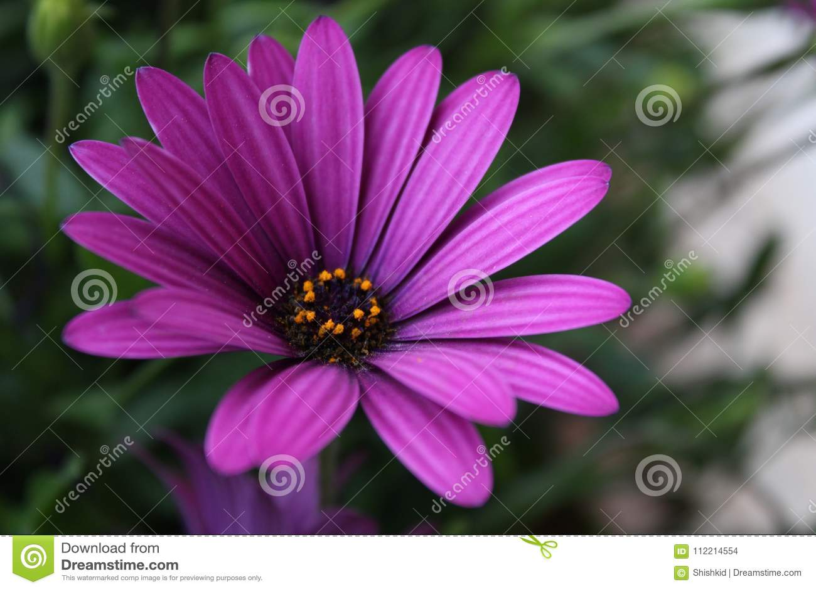 Fermez Vous Vers Le Haut De La Fleur Violette De Marguerite