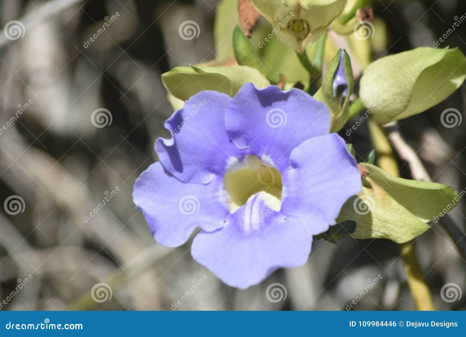 Fermez-vous vers le haut de la photo d une fleur de gloire de matin