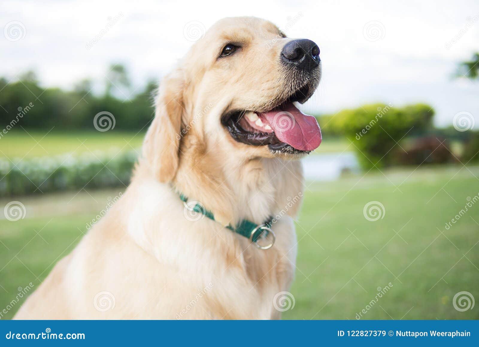 Fermez-vous vers le haut de la photo du chiot de golden retriever avec le sitti vert de collier